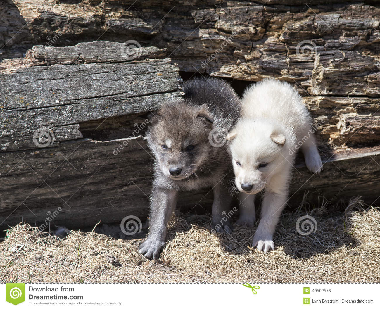 how to train a baby wolf