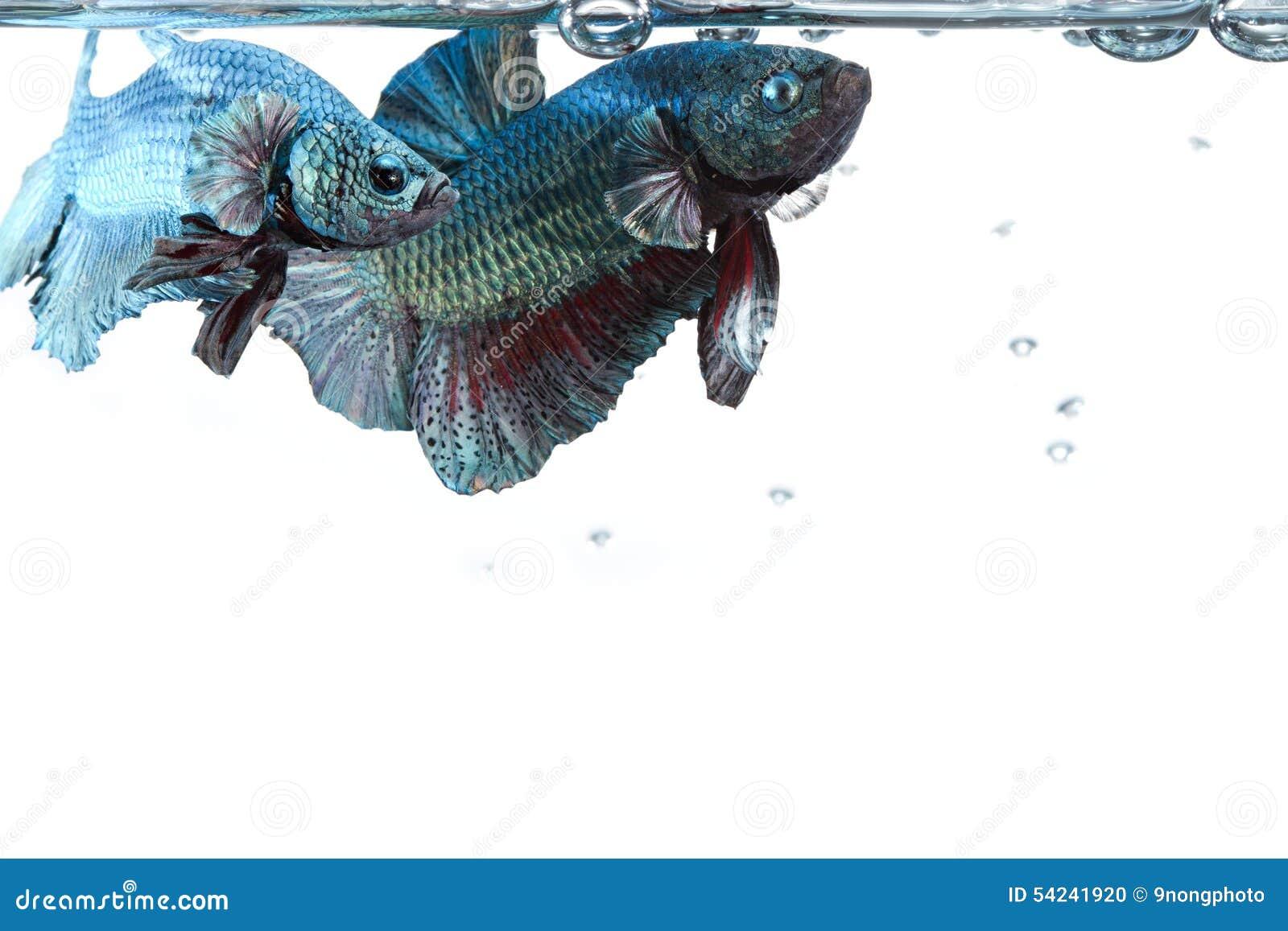 Paires artistiques de poissons de combat de betta, avec la frontière de surface de l eau