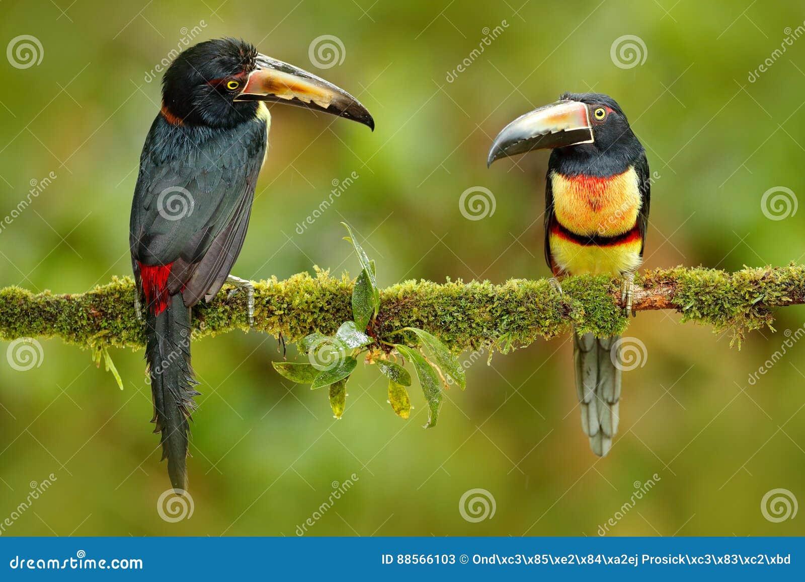 Paires Collared Aracari, torquatus de Pteroglossus, oiseaux avec la grande facture Deux toucan se reposant sur la branche dans la