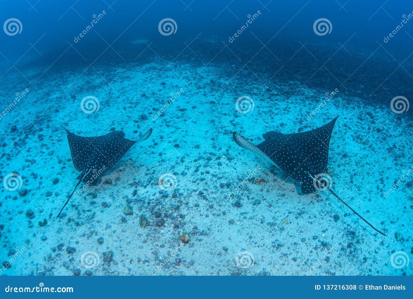 Paires d Eagle Rays repéré en île de Cocos