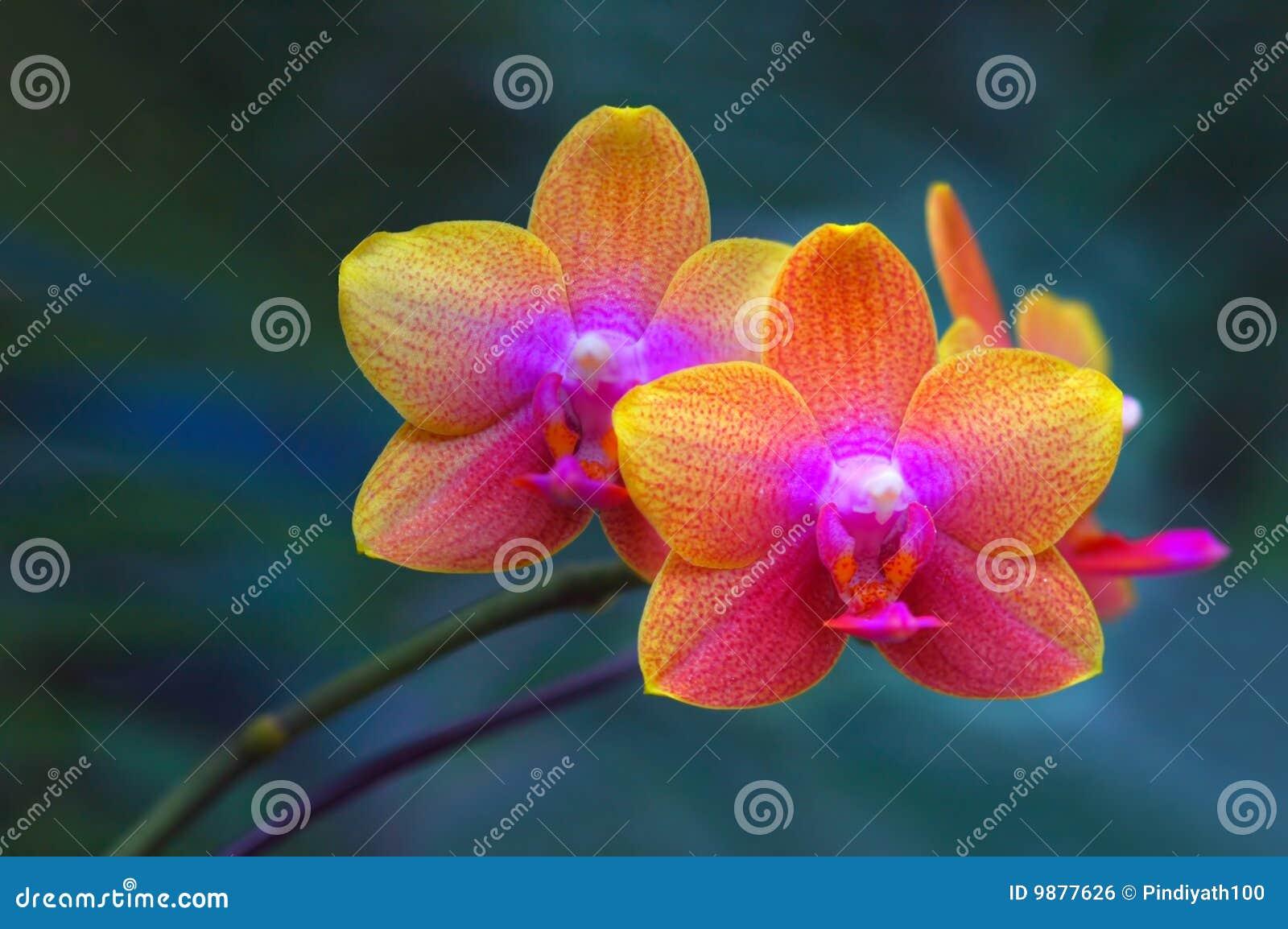 Paires d orchidées