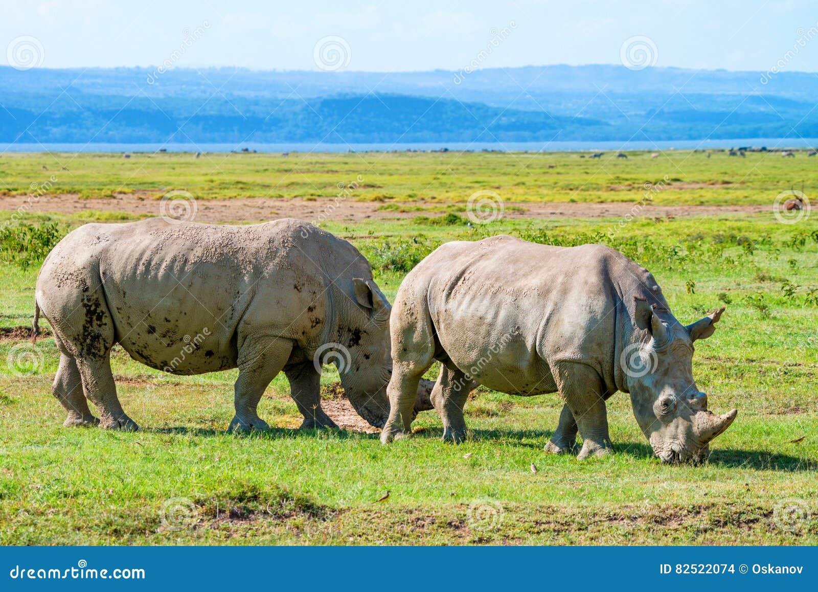 Paires de blanc de rhinocéros
