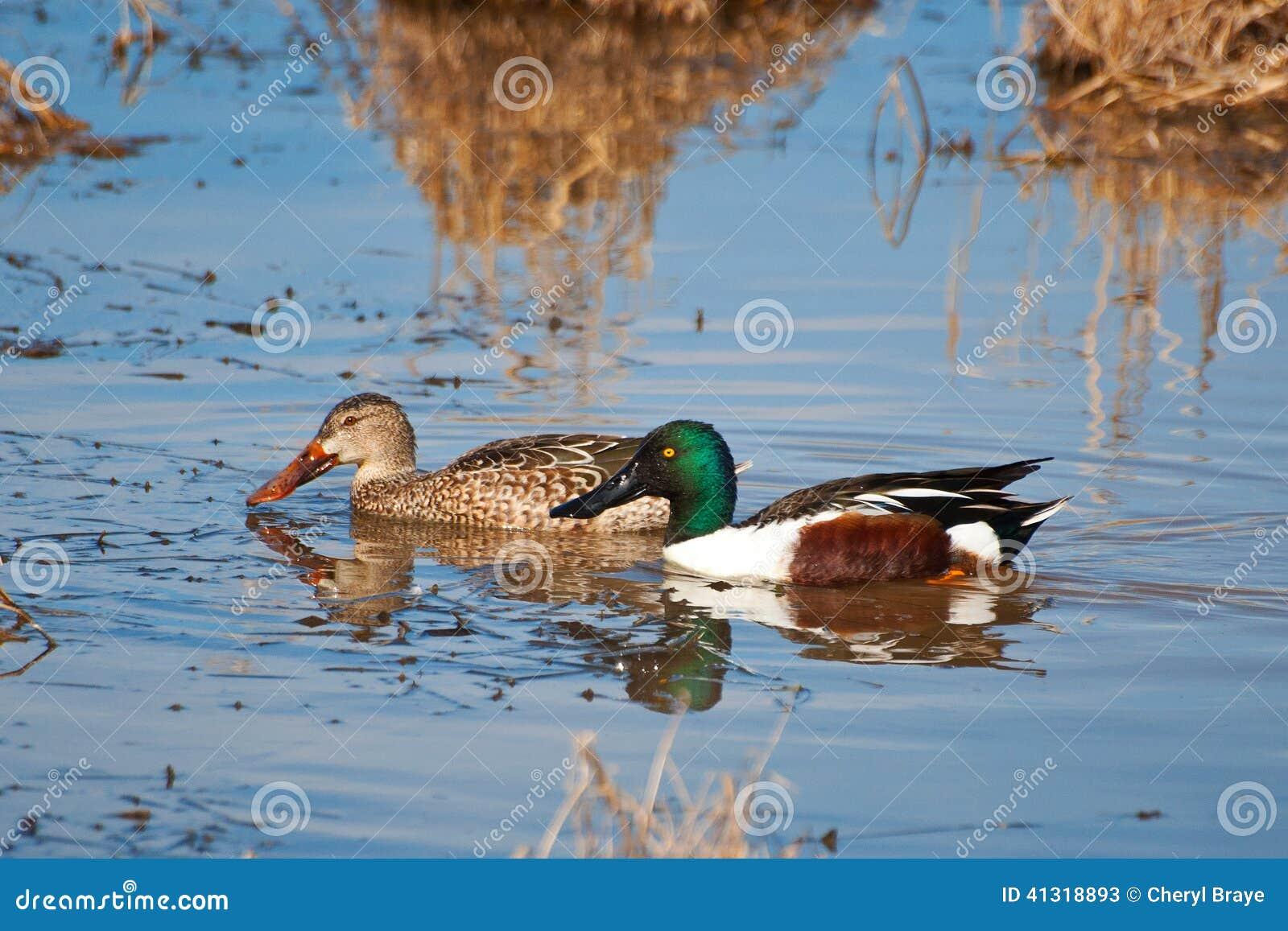 Paires de canard souchet, mâle/femelle