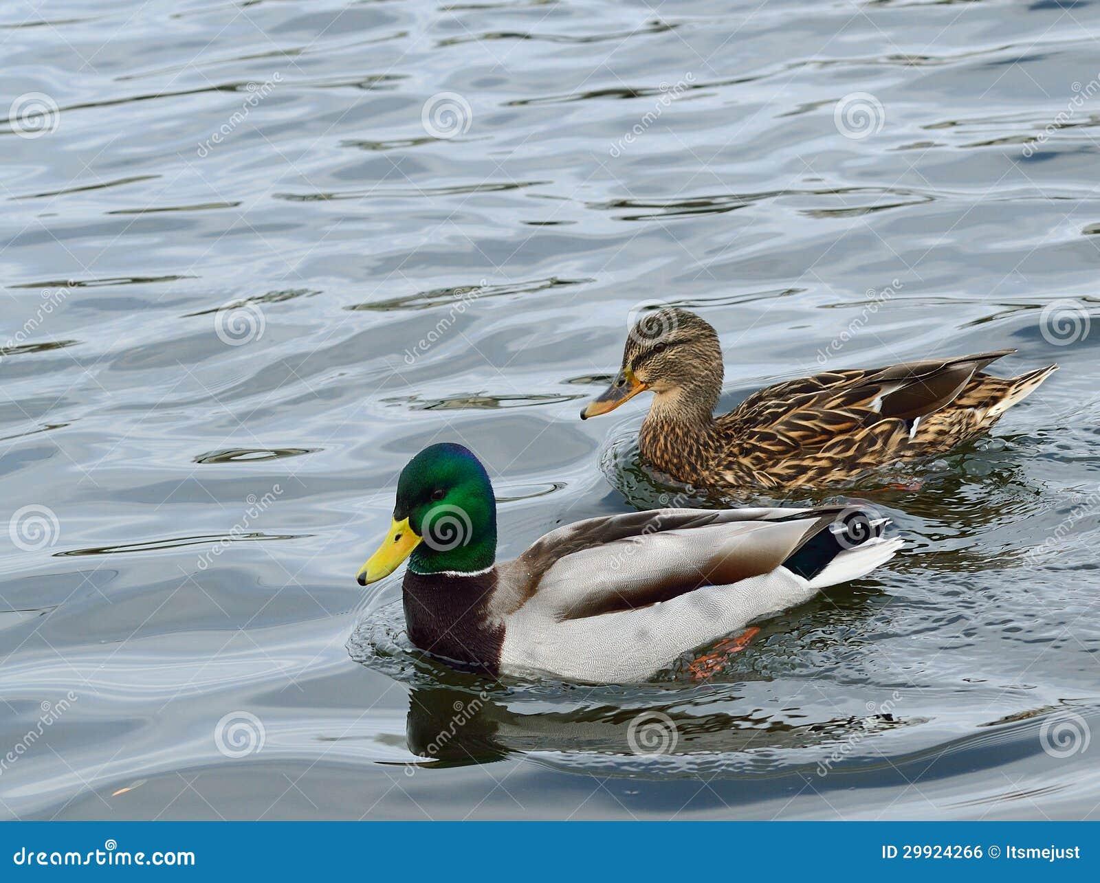 Paires de canards de canard,