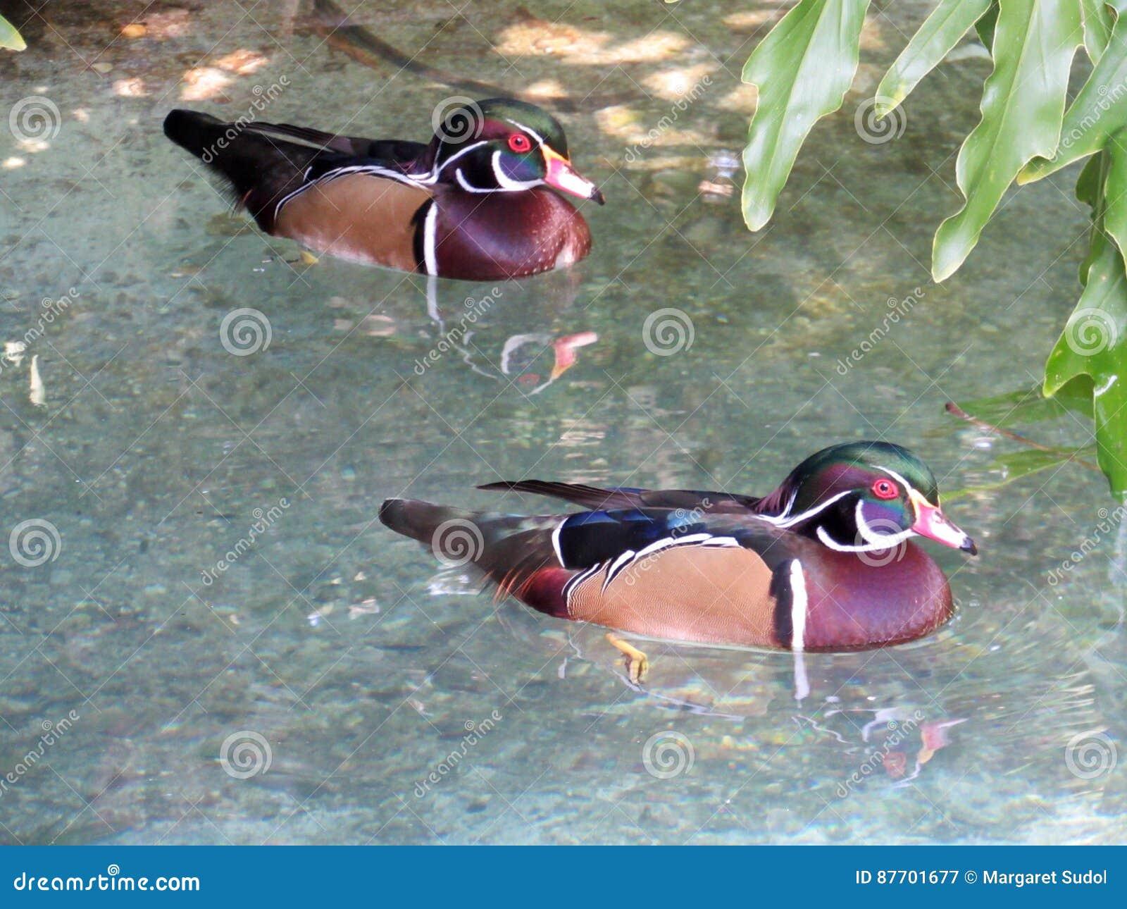 Paires de canards en bois pataugeant dans un étang peu profond de la Floride
