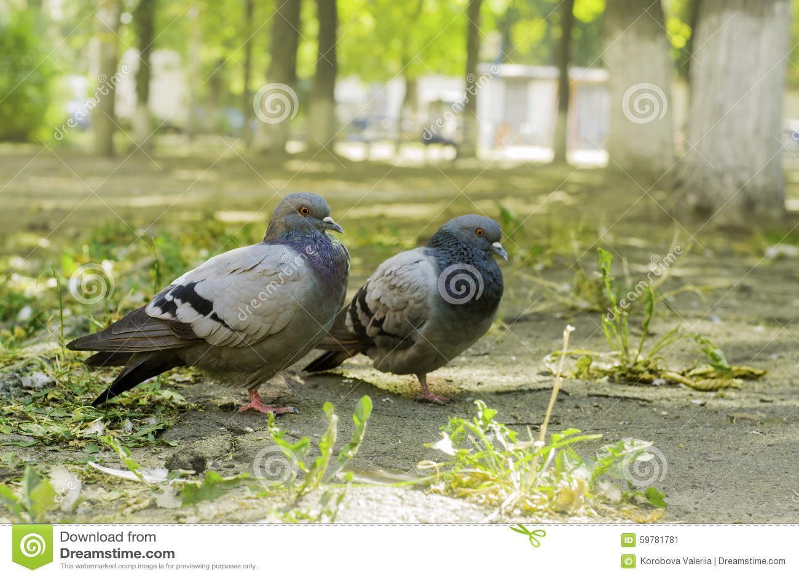 Paires de colombes se tenant au sol, deux colombes