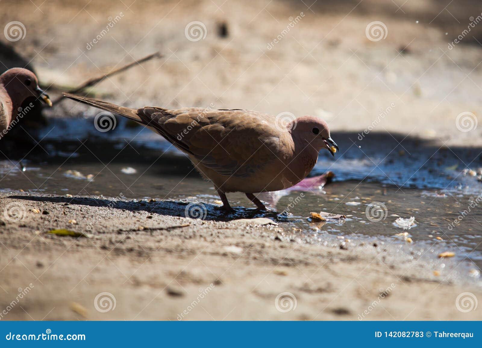 Paires de colombes