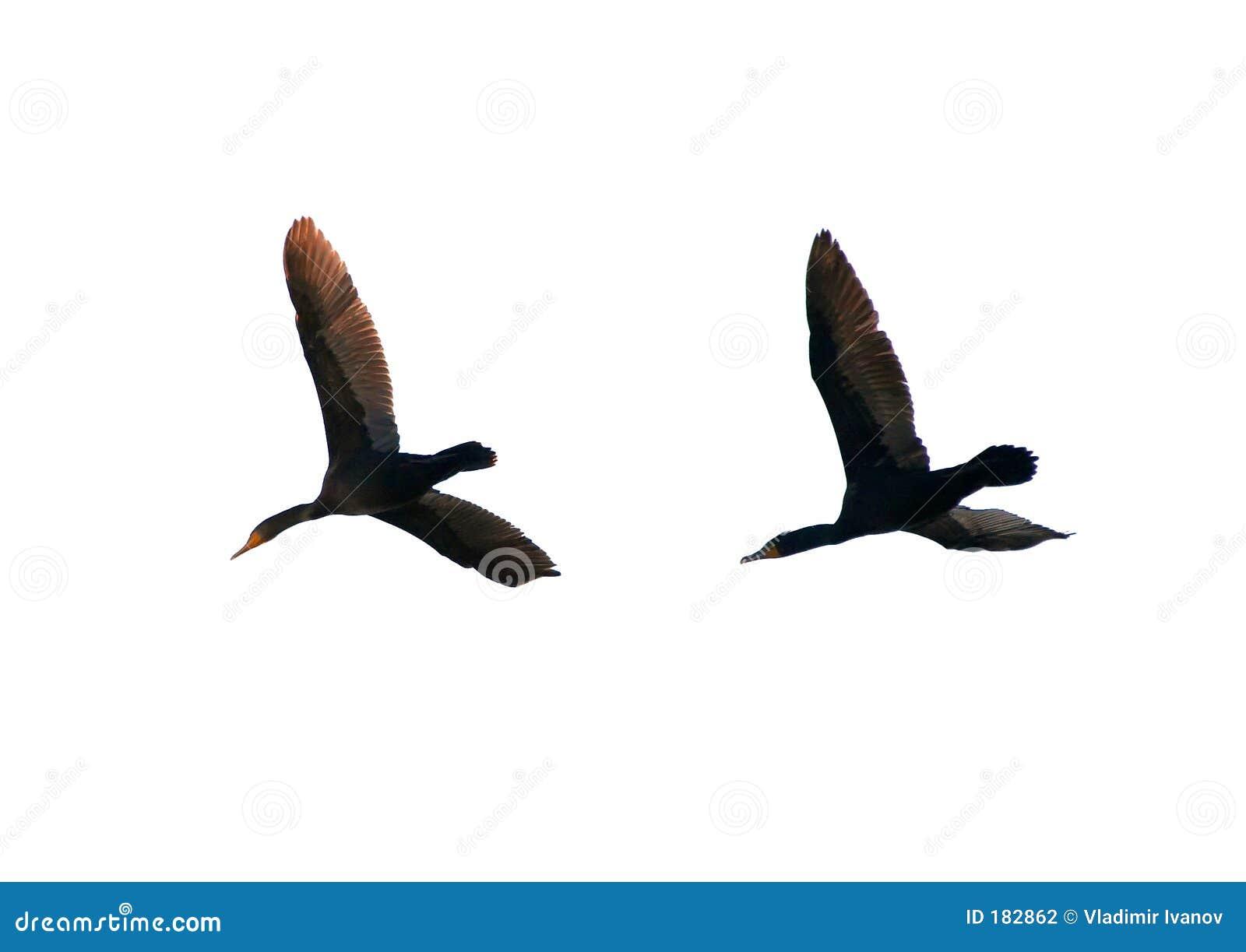 Paires de cormorans de vol