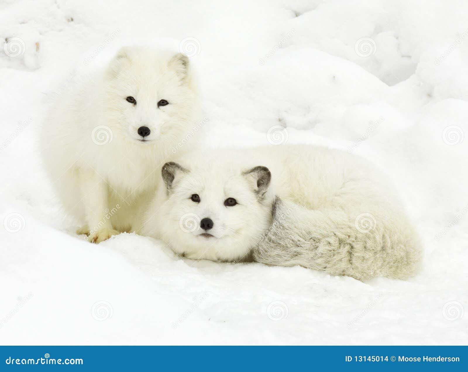Paires de Fox arctique