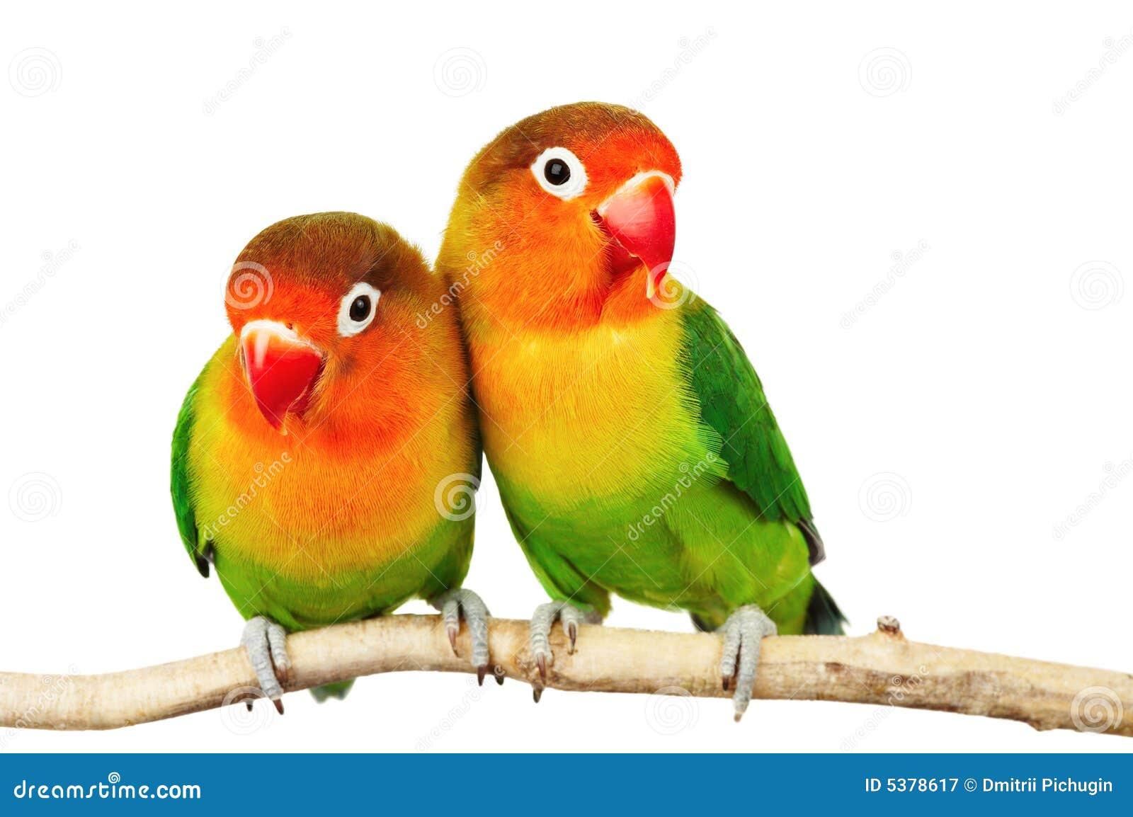 Paires de lovebirds