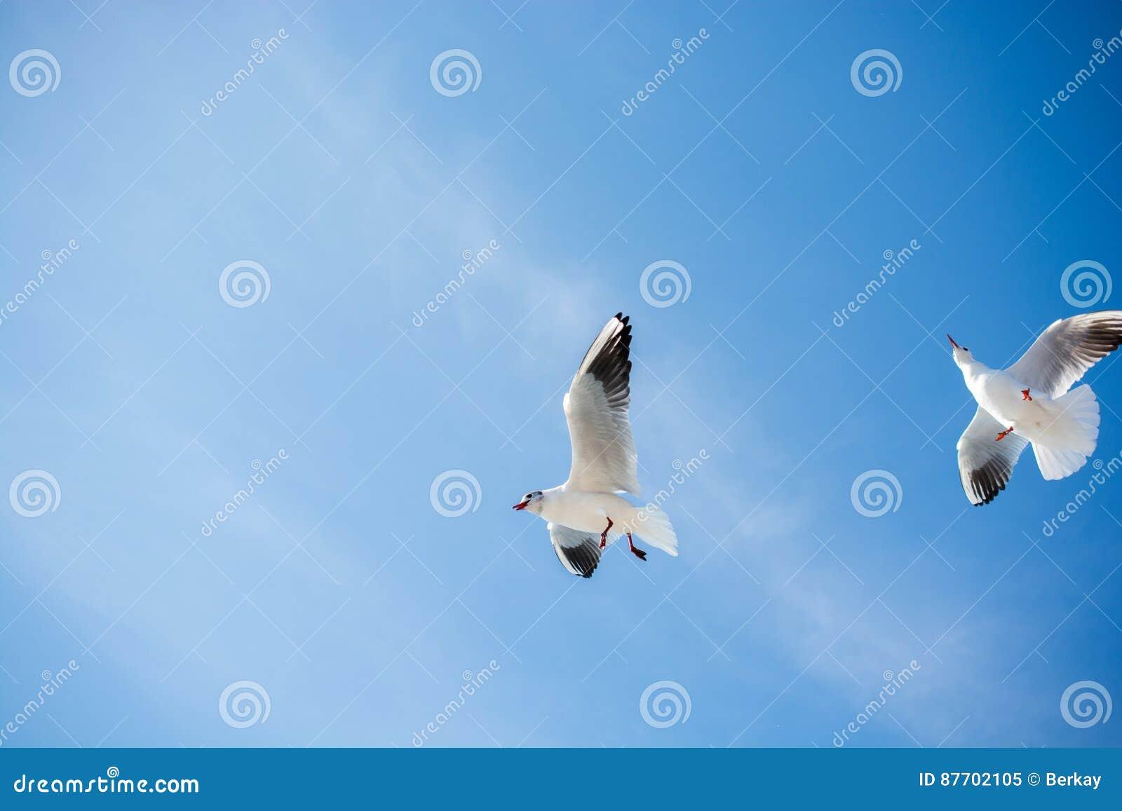 Paires de mouettes volant en ciel au-dessus des eaux de mer