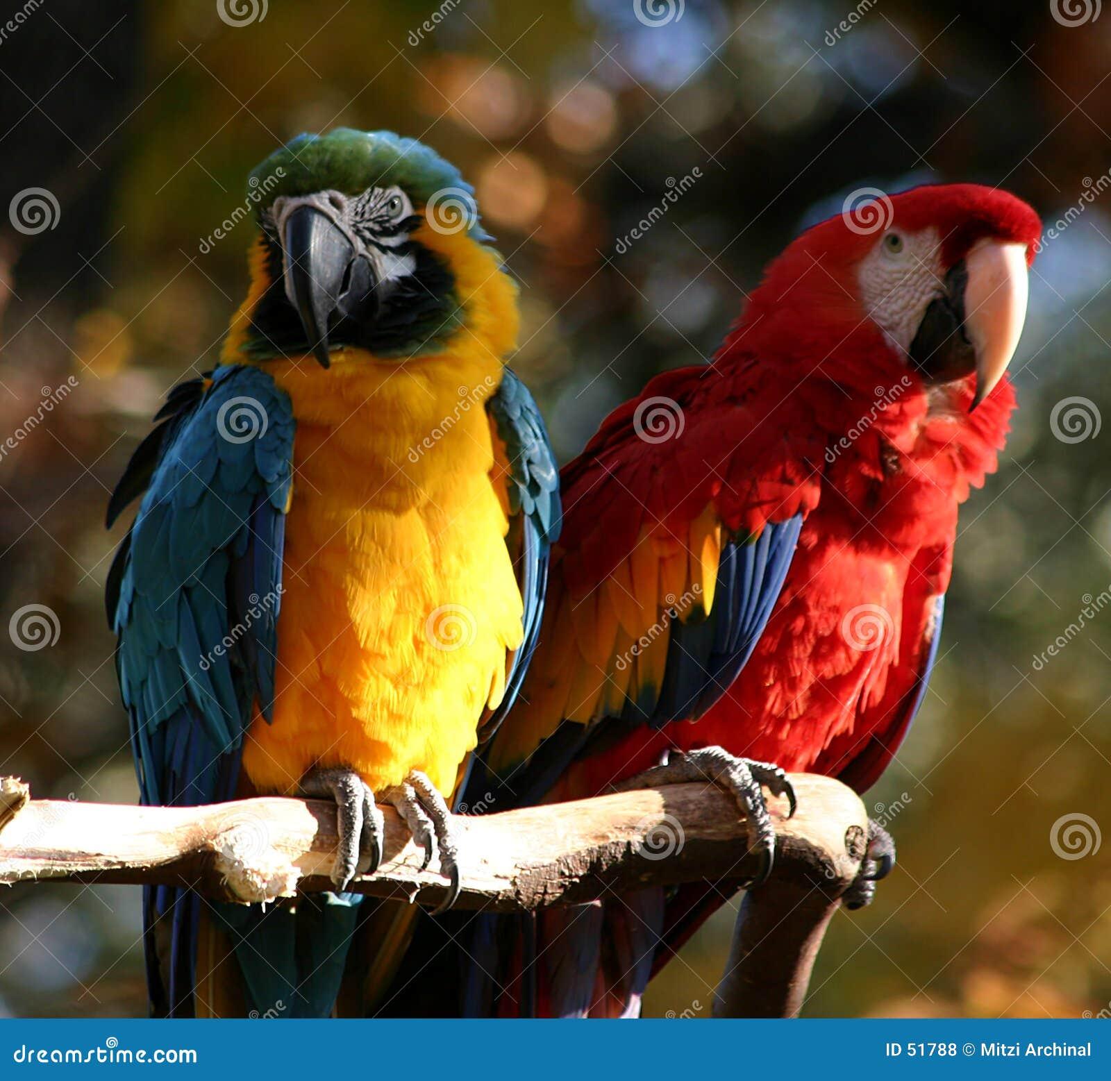 Download Paires de perroquets photo stock. Image du tropical, aile - 51788