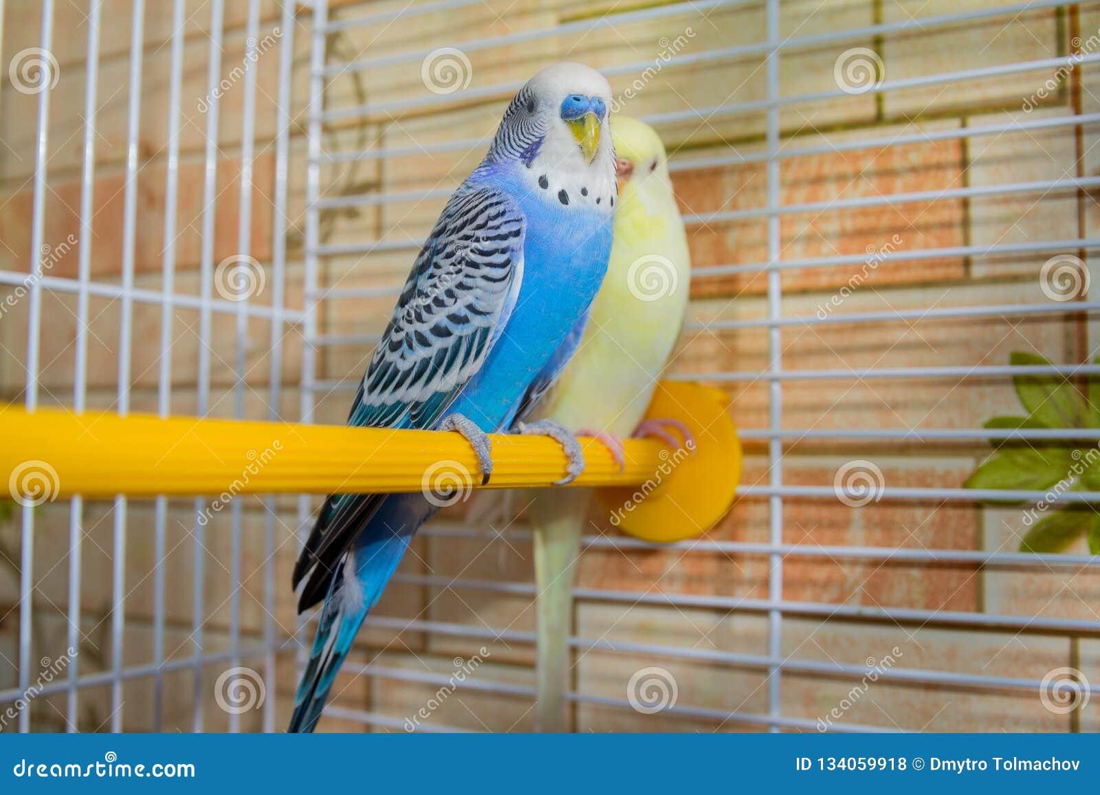Paires de perroquets onduleux dans une cage