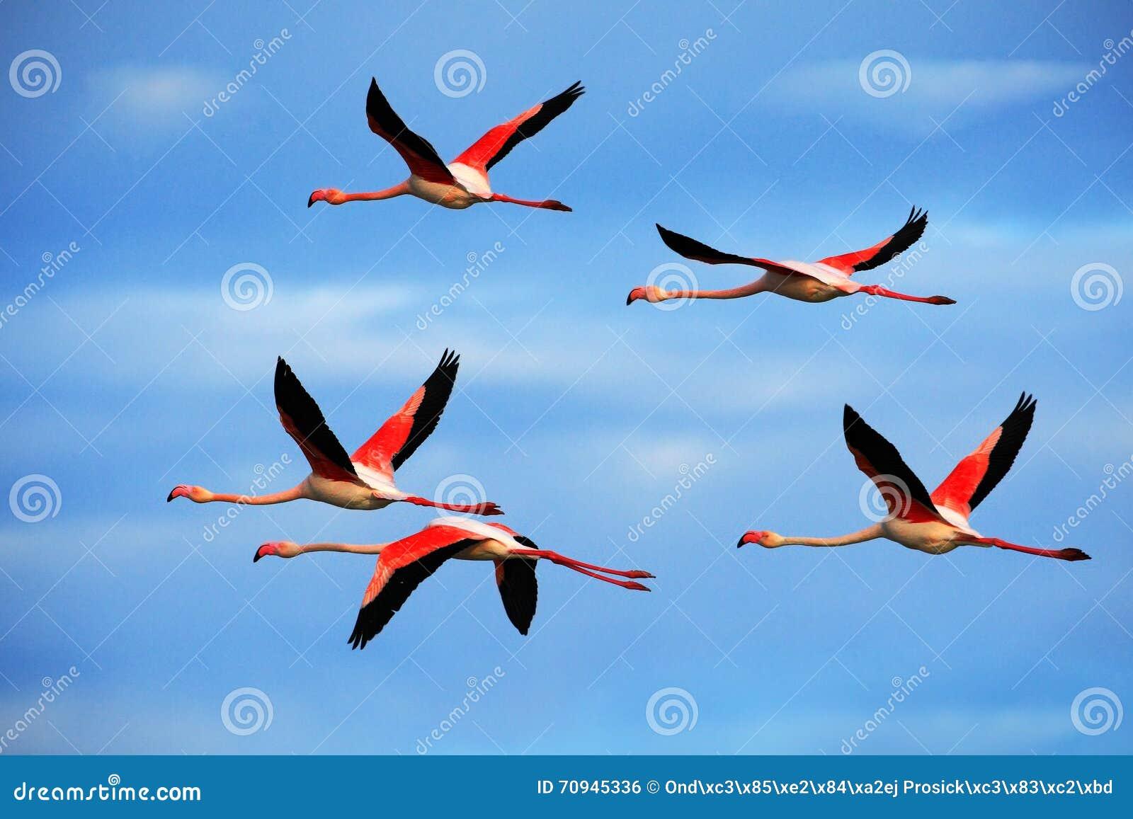 Paires de vol d un plus grand flamant de grand oiseau rose gentil, ruber de Phoenicopterus, avec le ciel bleu clair avec des nuag