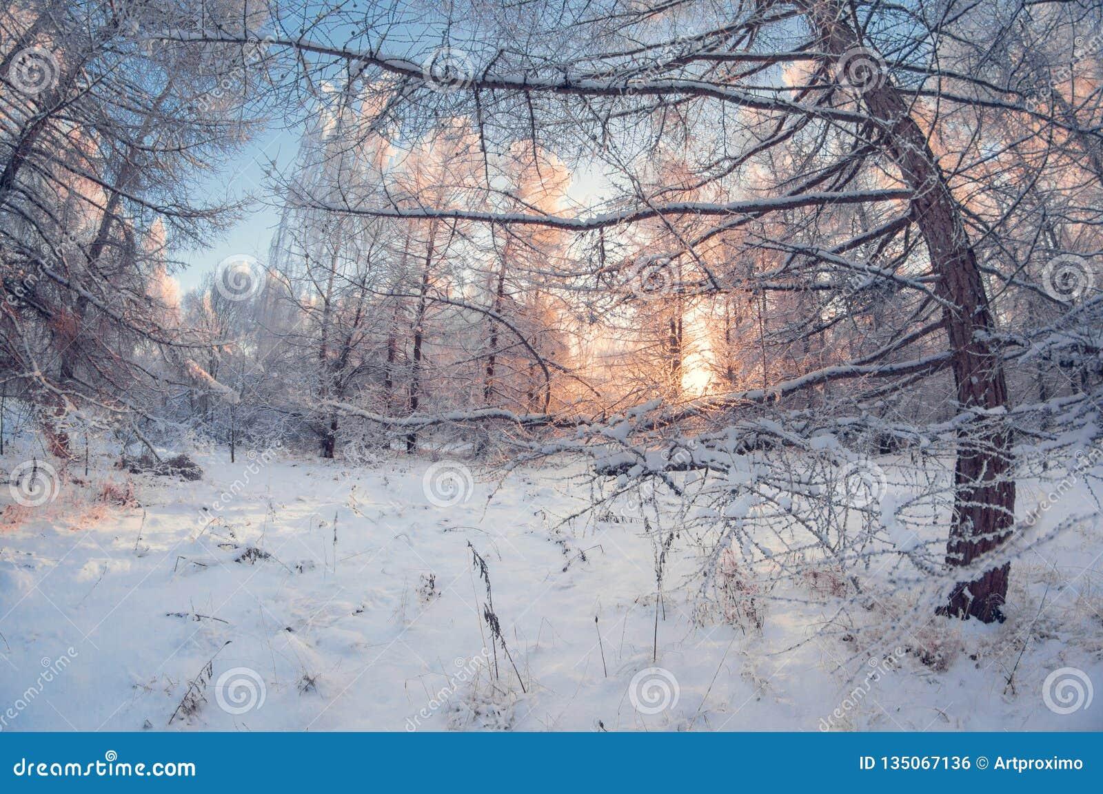 Paisagem bonita do inverno, floresta nevado em um dia ensolarado, distorção do olho de peixes, árvores nevados altas com um céu a