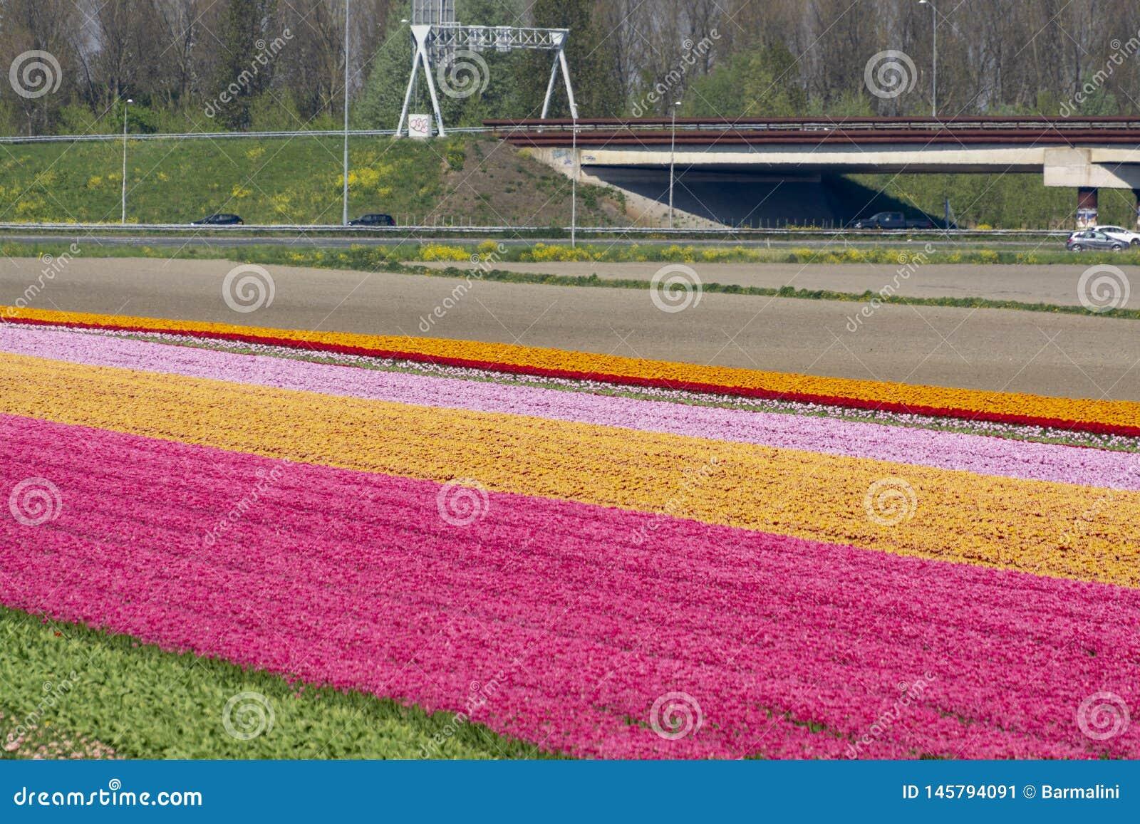 Paisagem com campos da tulipa, os moinhos e a estrada de florescência, estilo de vida holandês