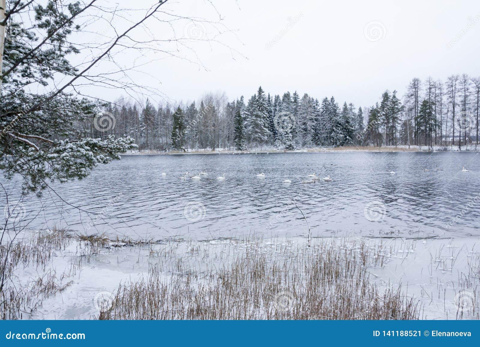 Paisagem da calma do inverno em um rio com cisnes brancas Finlandia, rio Kymijoki