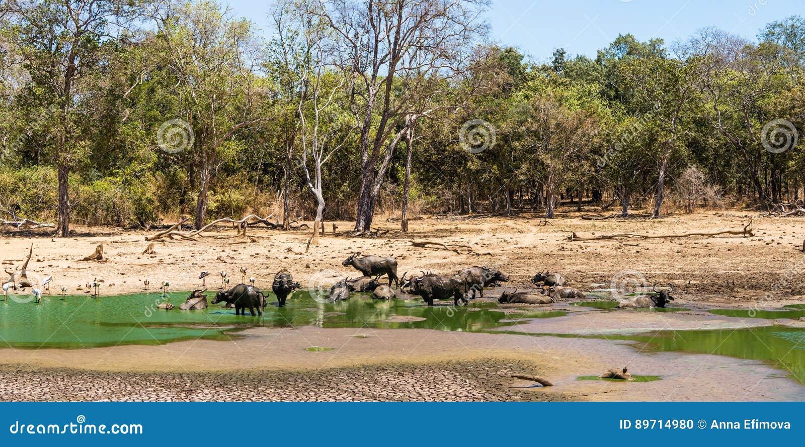 Paisagem da floresta do verão com um rebanho do búfalo asiático selvagem