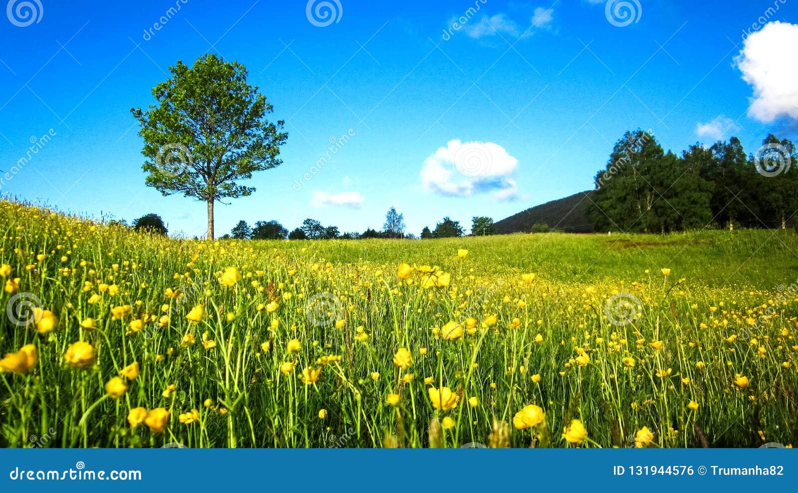 Paisagem da mola da natureza com um campo de botões de ouro amarelos selvagens, de uma árvore solitária e de nuvens brancas dispe