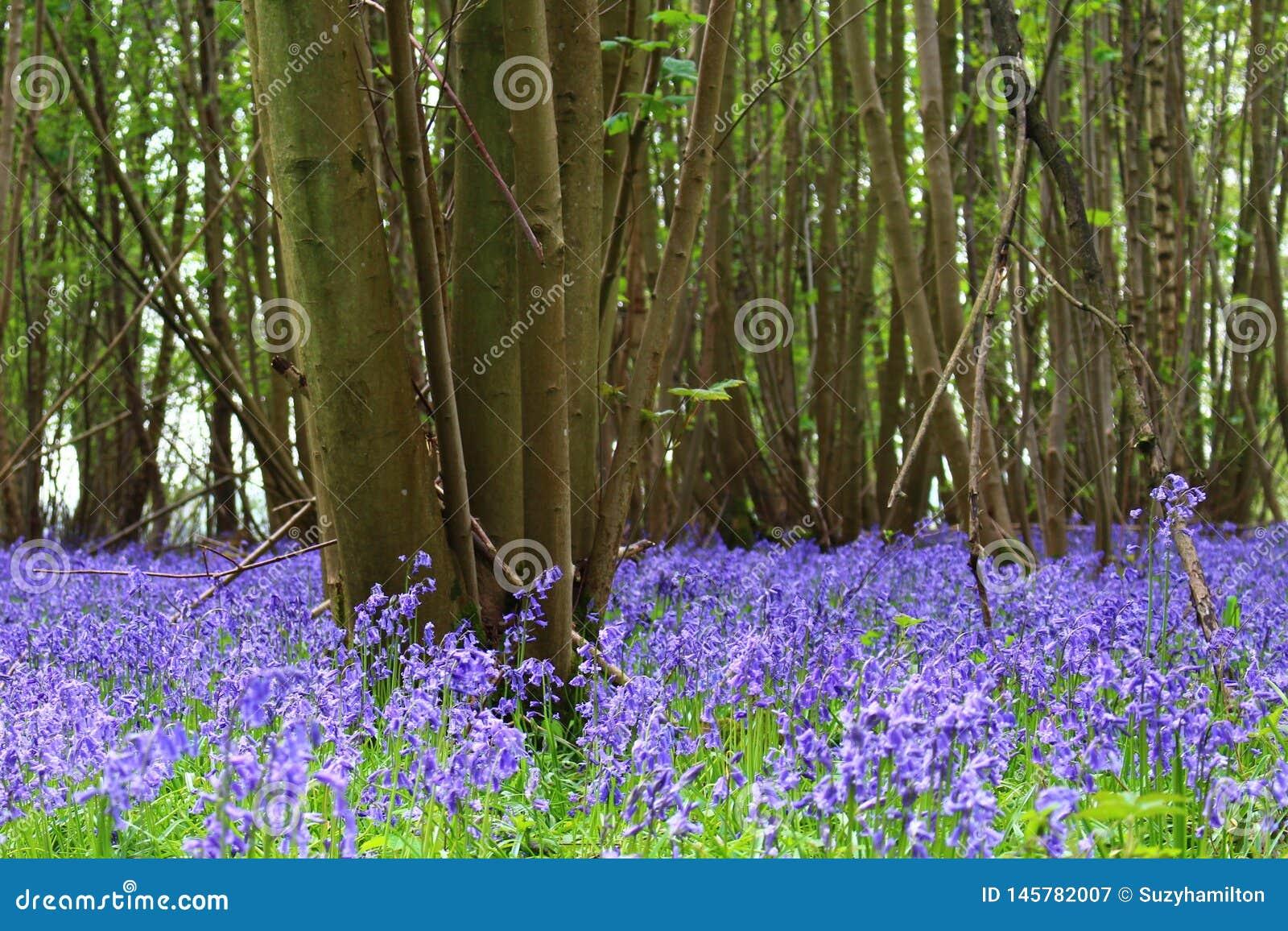 Paisagem de madeira do assoalho da floresta do non-scripta do Hyacinthoides da campainha