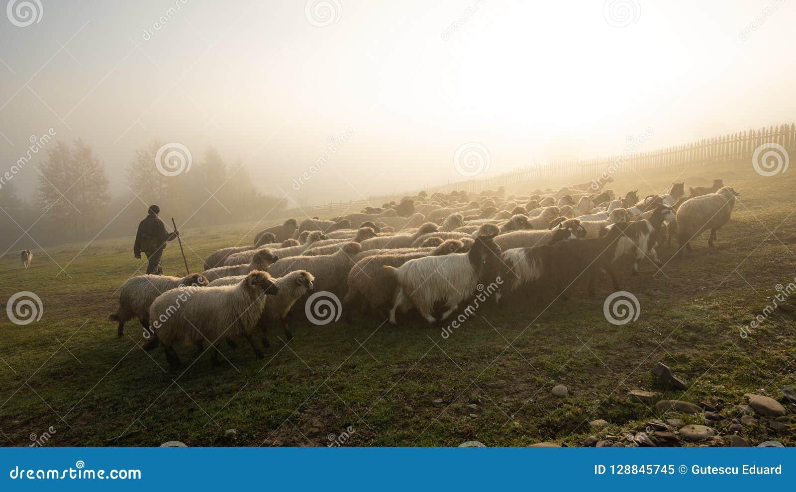Paisagem de Romênia com carneiros e cabra no tempo do outono na exploração agrícola