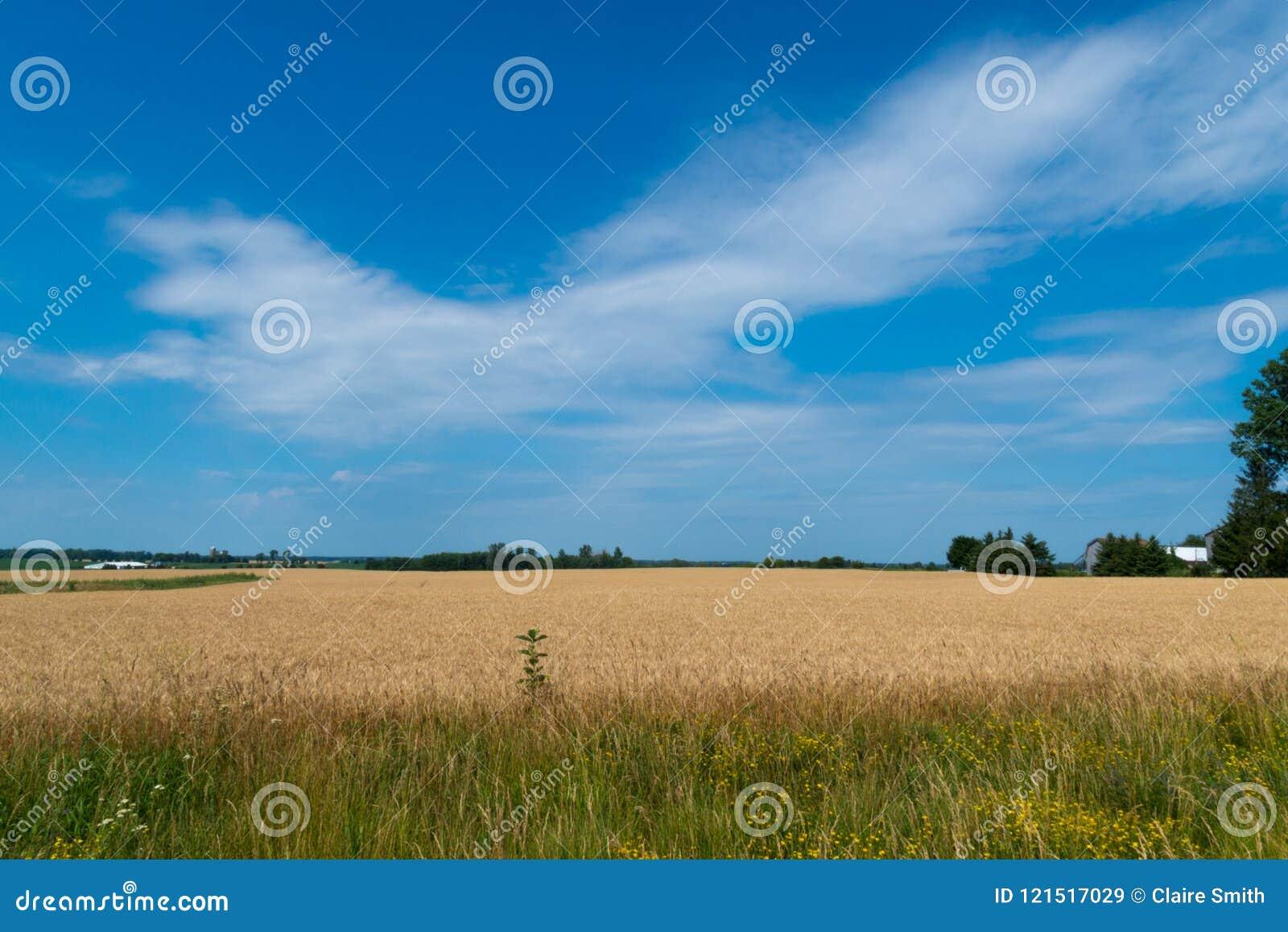 Paisagem do campo de milho maduro com céu azul e do whitespace para o tex