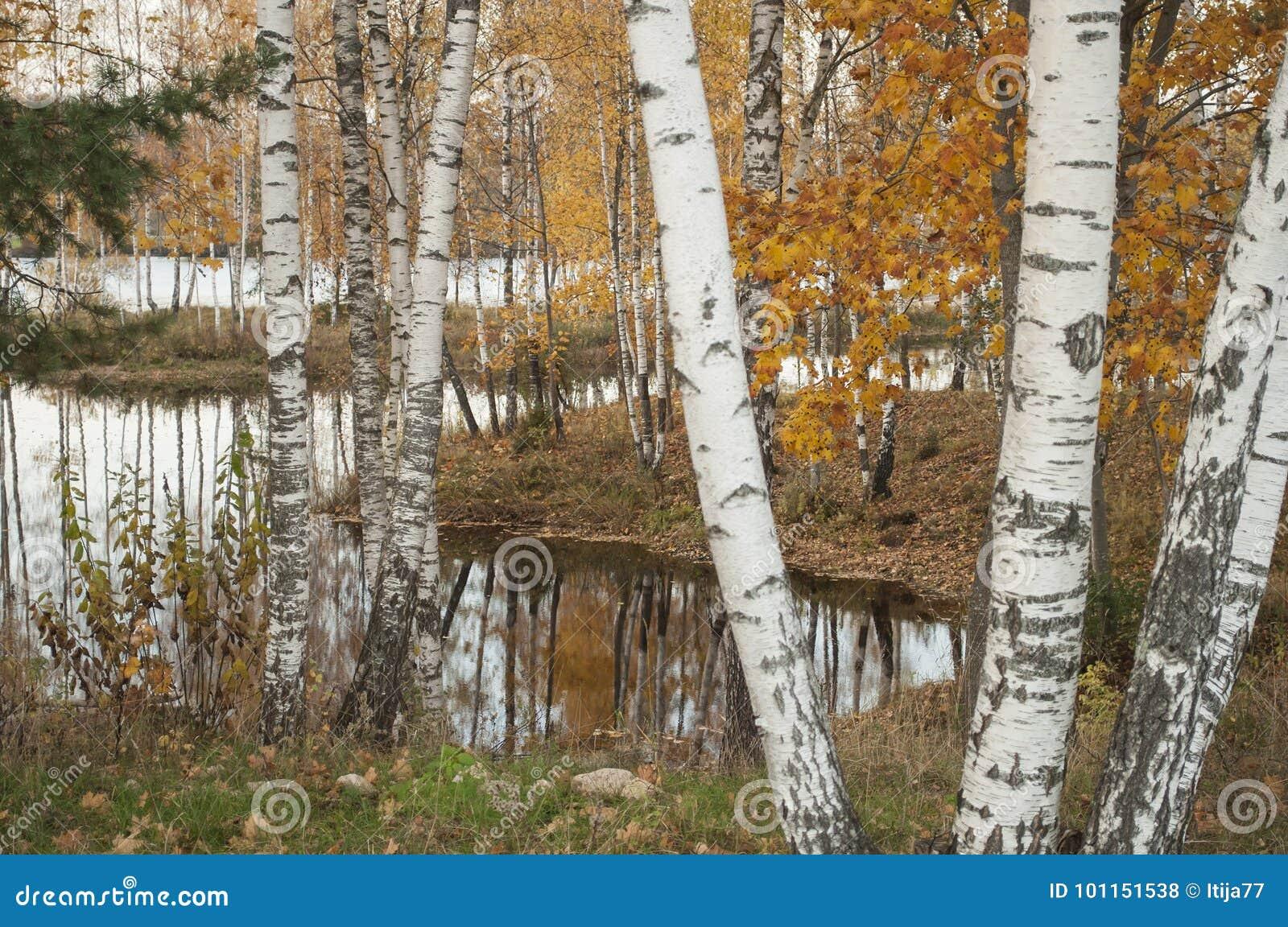 Paisagem do outono com reflexão na água de troncos do vidoeiro
