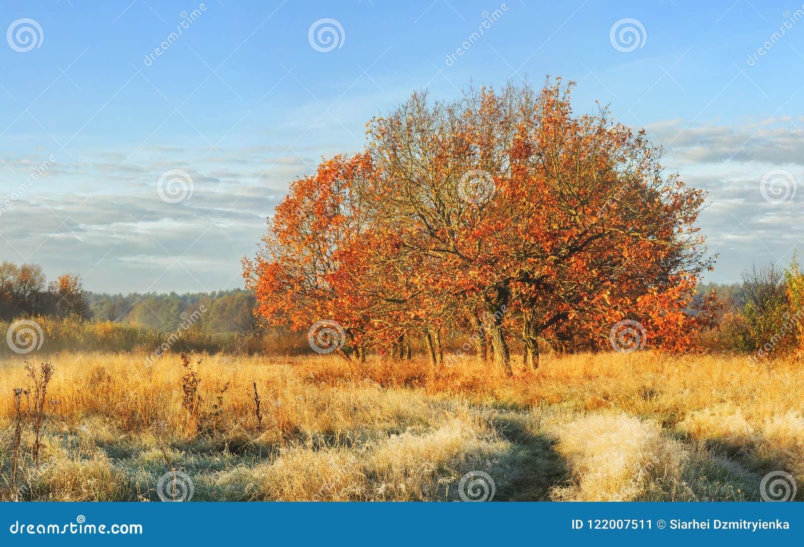 Paisagem do outono da manhã clara da natureza em outubro A árvore com vermelho sae na grama amarela coberta prado no dia ensolara