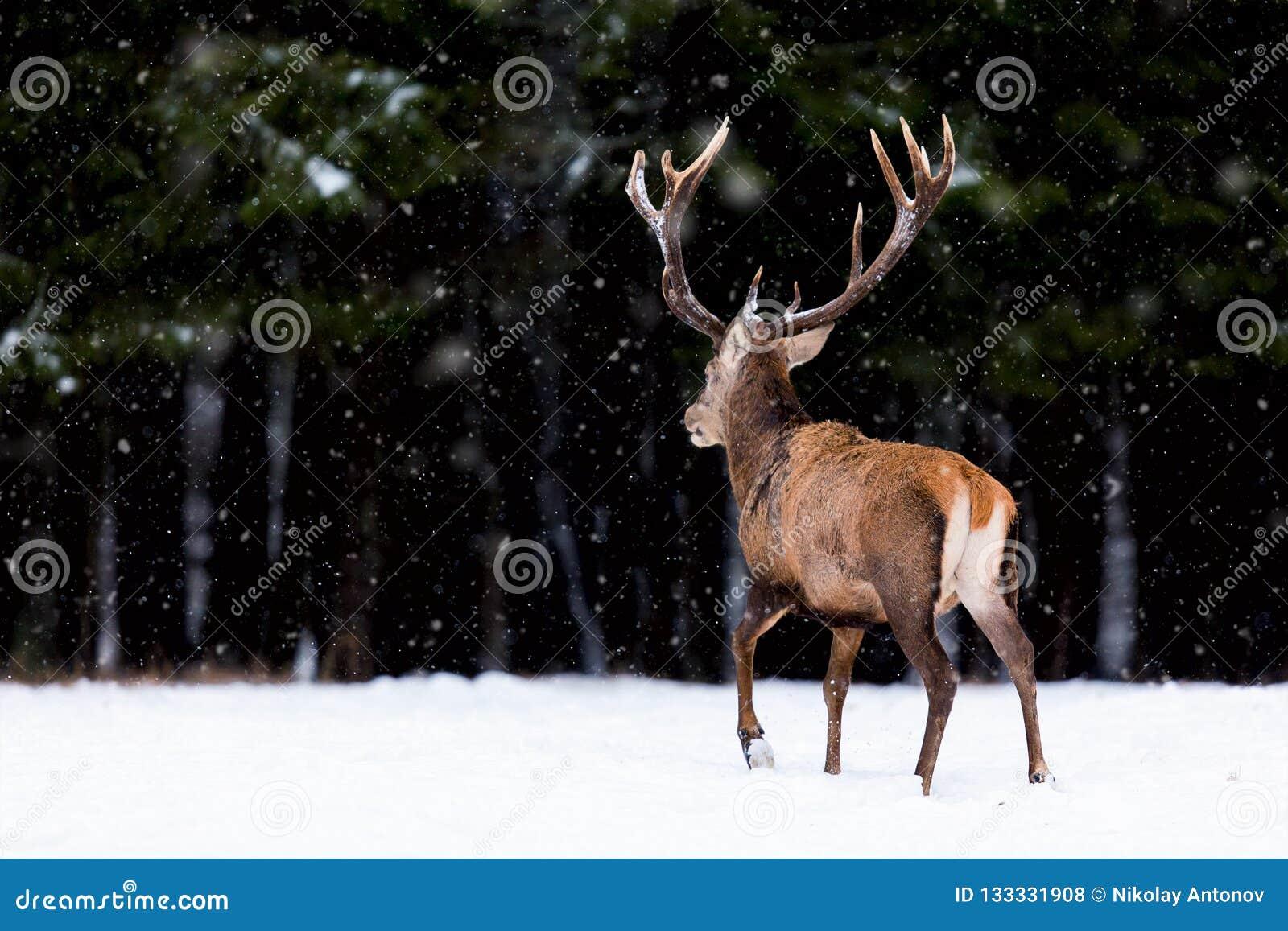 Paisagem dos animais selvagens do inverno Cervus nobre Elaphus dos cervos Para trás dos cervos em cervos da floresta do inverno c