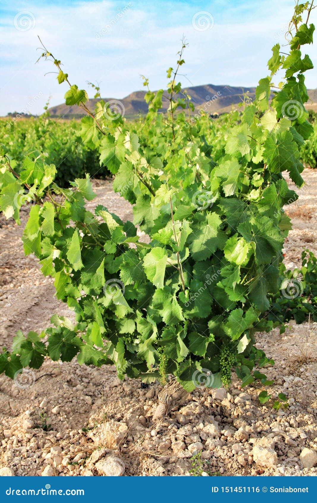 Paisagem dos vinhedos província em Jumilla, Múrcia