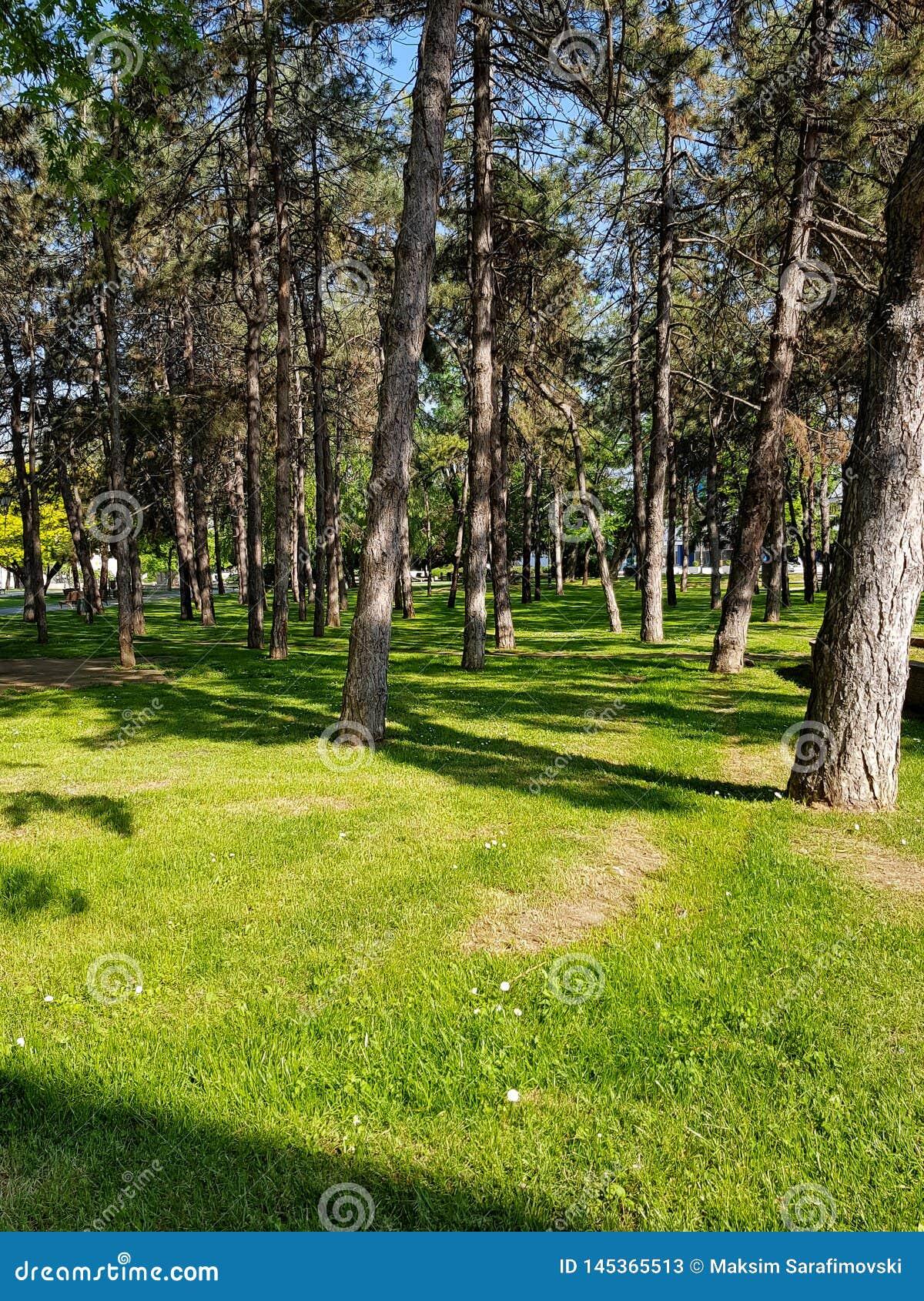 Paisagem ensolarada do ver?o bonito na floresta do pinho com os troncos delgados altos de ?rvores con?feras, do ar puro fresco e