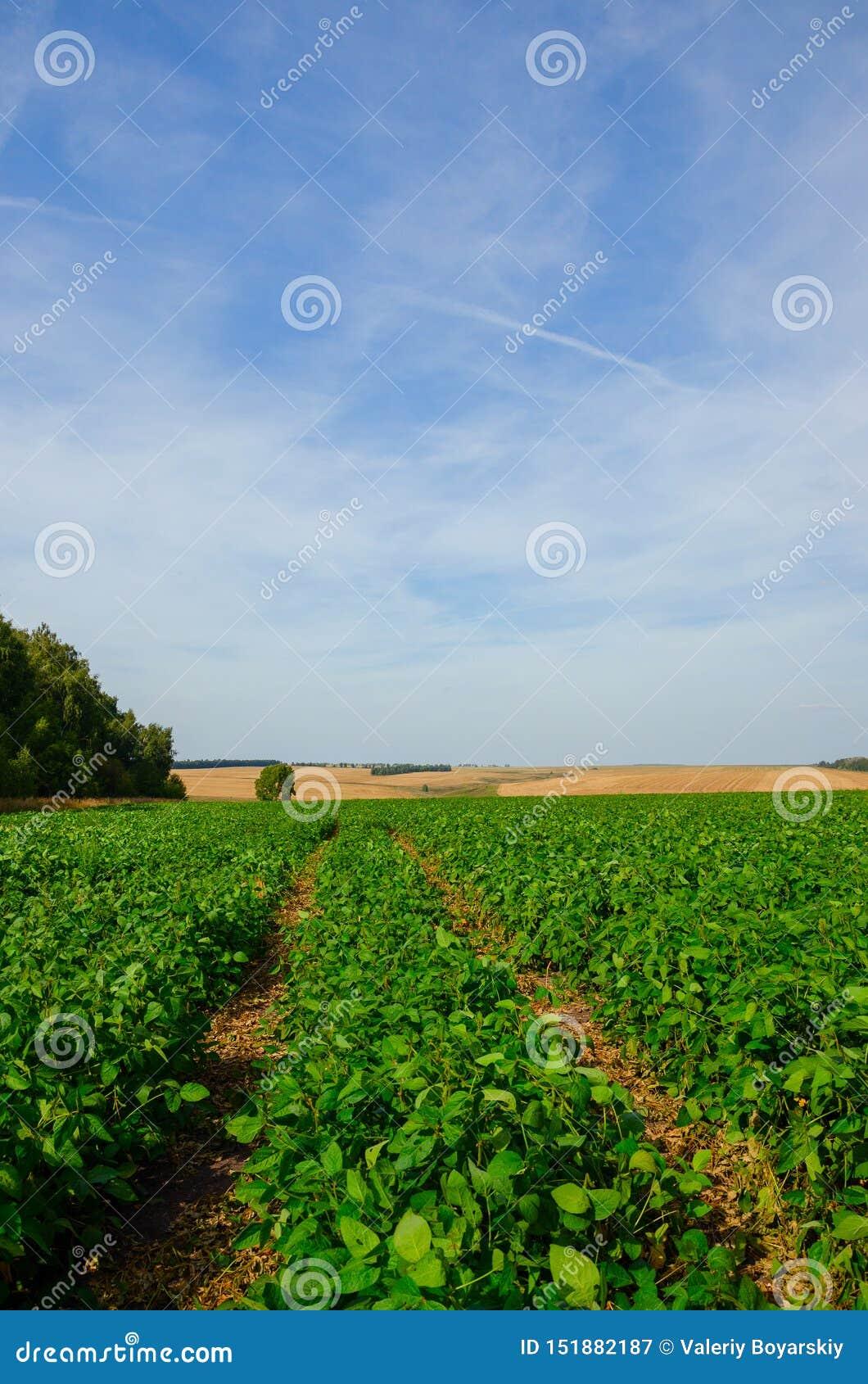 Paisagem ensolarada do verão com a estrada secundária à terra que passa através do campo verde da soja
