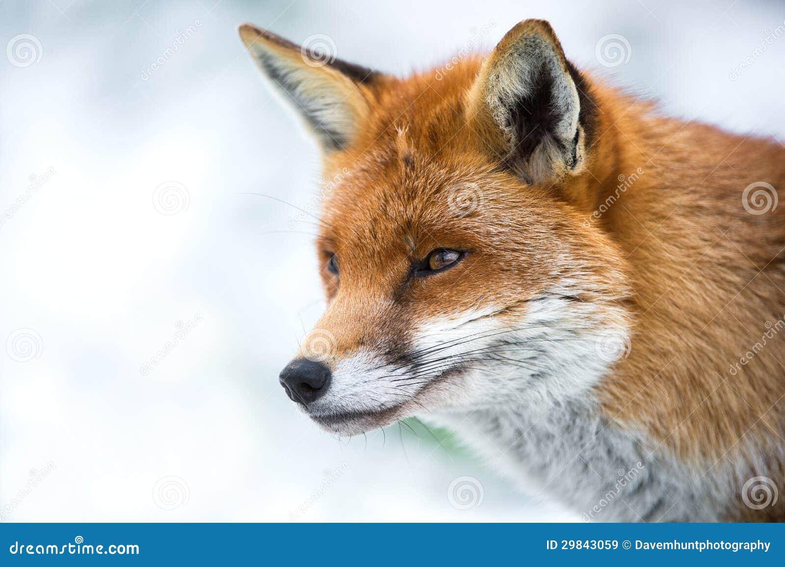 Fox na neve