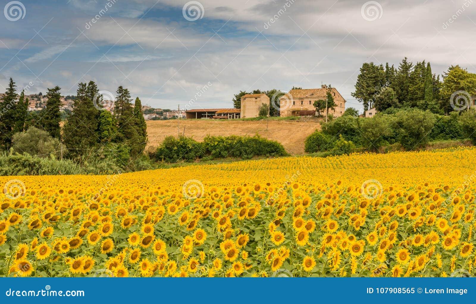 Paisagem rural do verão com campos do girassol e campos verde-oliva perto de Porto Recanati na região de Marche, Itália