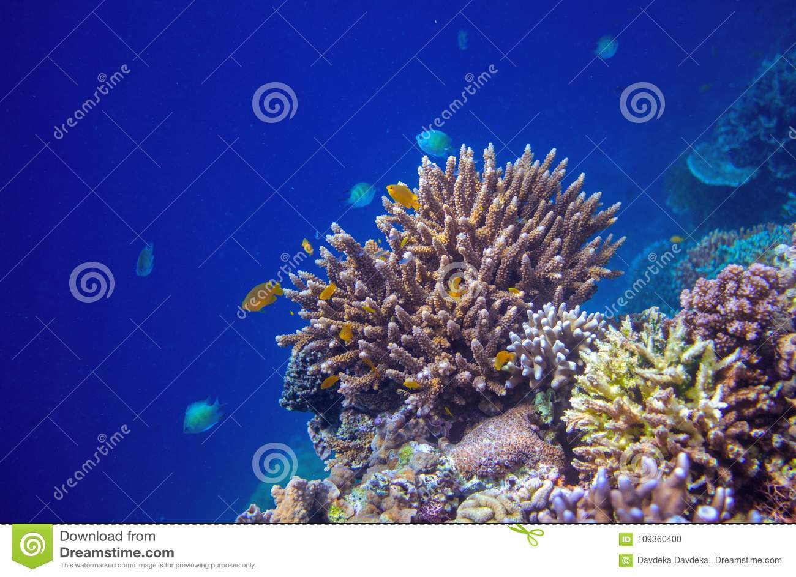 Paisagem subaquática do litoral tropical Parede do recife de corais na água do mar aberta