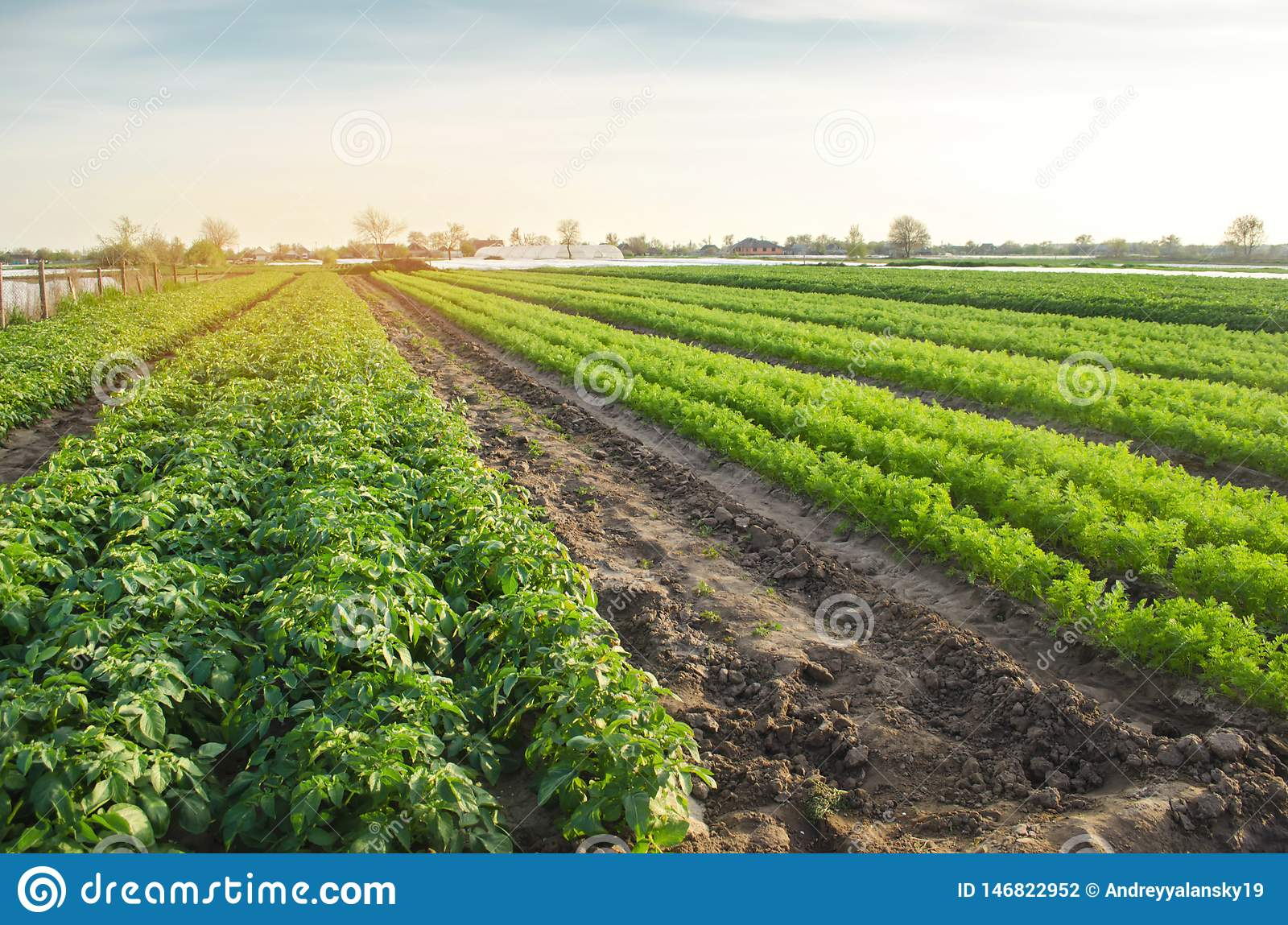 Paisaje agr?cola con las plantaciones vegetales Verduras org?nicas crecientes en el campo Agricultura de la granja Patatas y zana