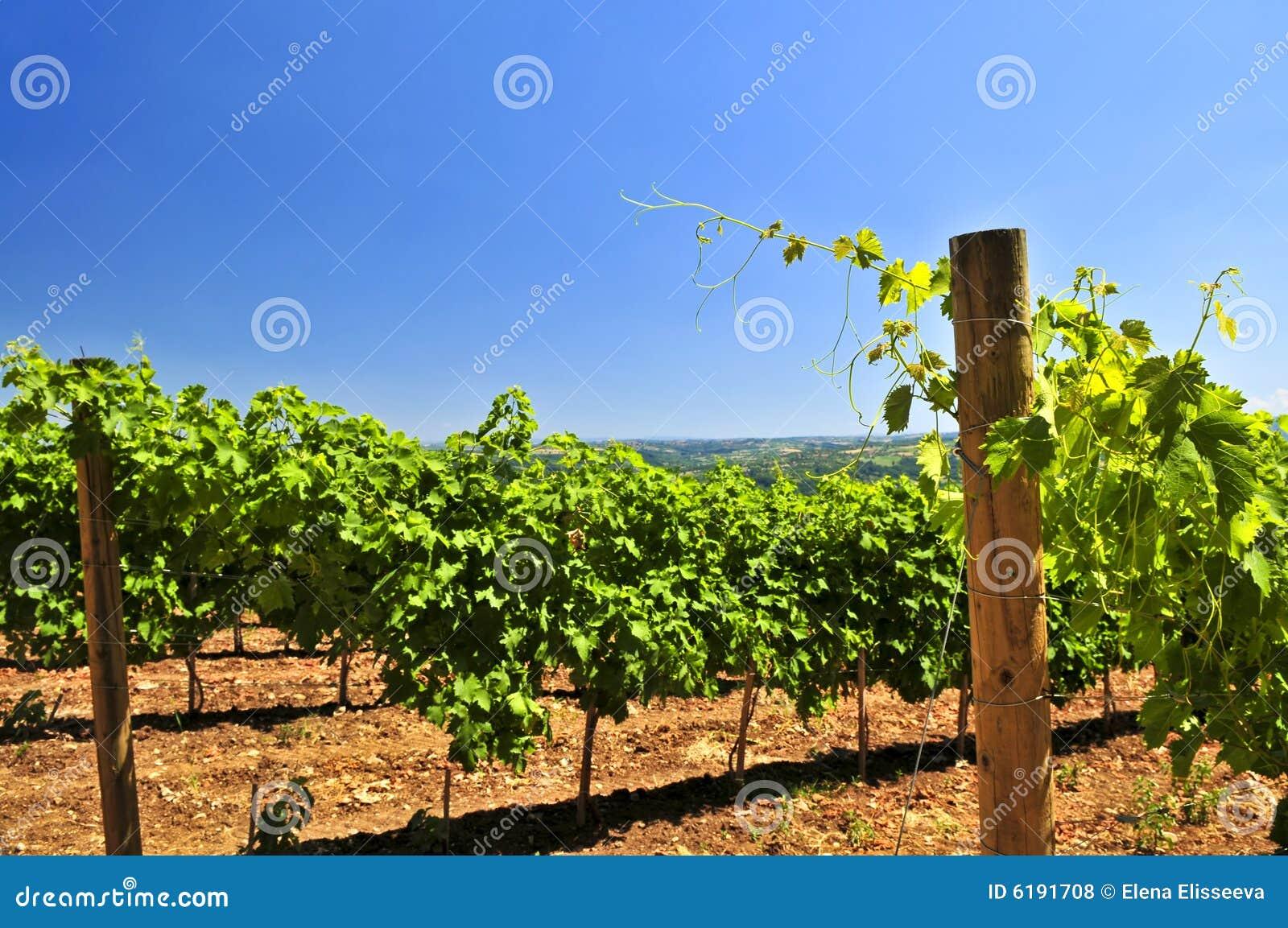 Paisaje con el viñedo