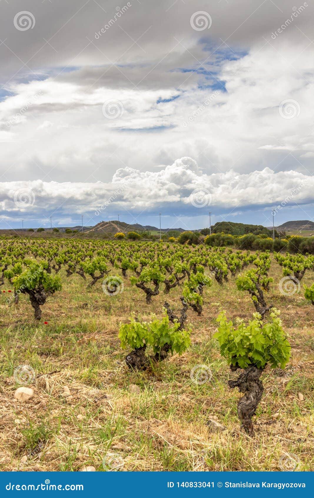 Paisaje cubierto escénico con los viñedos en La Rioja, España cerca de Logrono