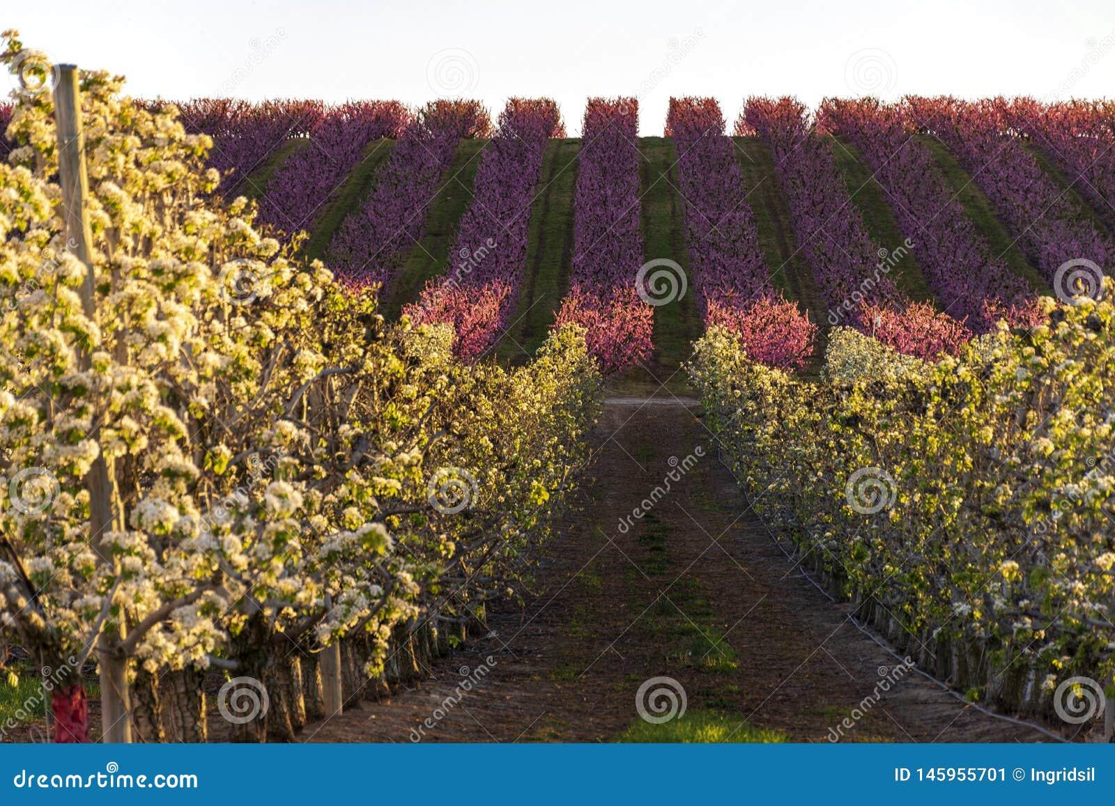 Paisaje de Aitona en la puesta del sol Campo con filas del ?rbol de melocot?n y perales en la floraci?n Flores rosadas y blancas