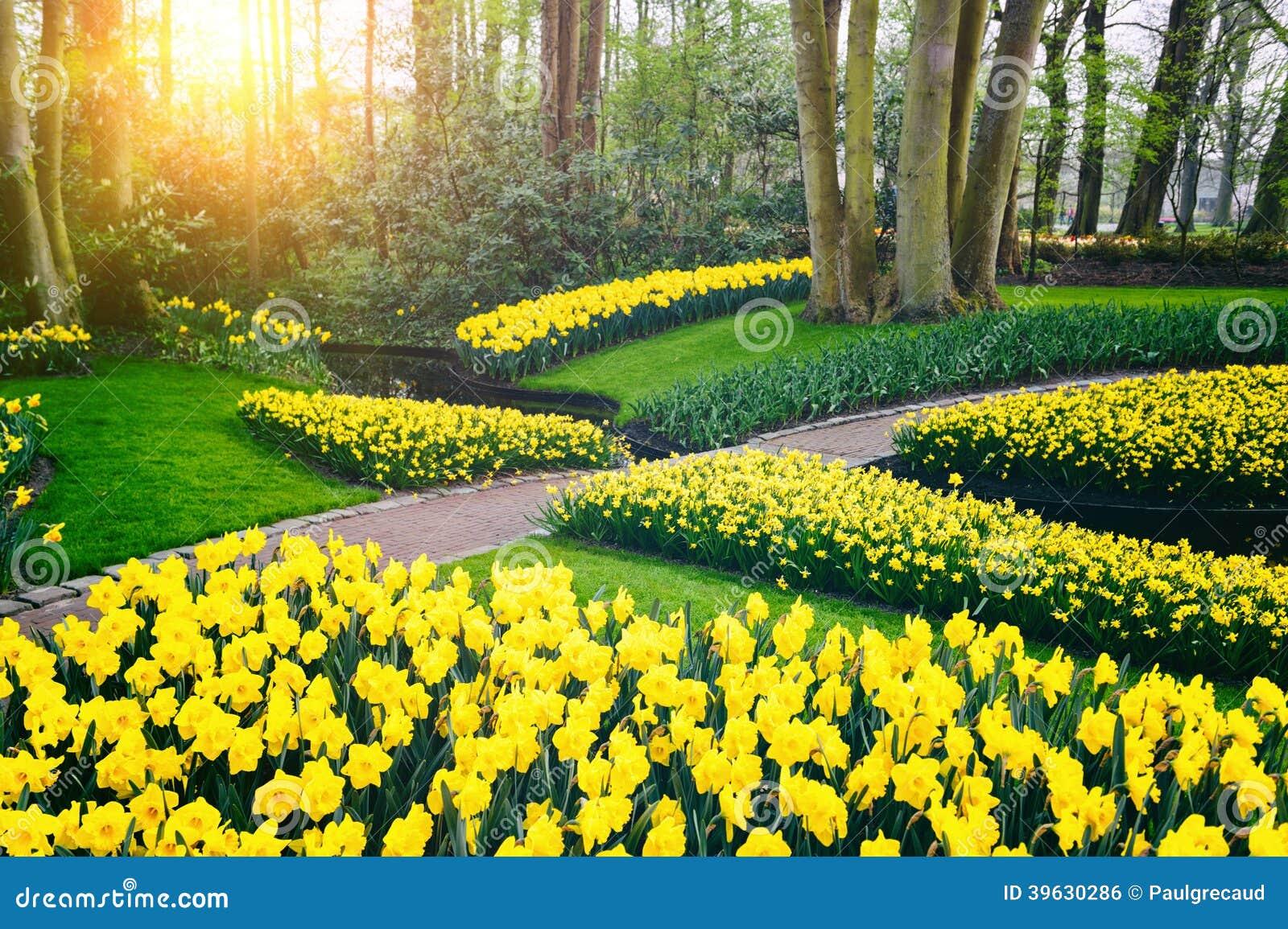 High Quality Download Paisaje De La Primavera Con Los Narcisos Amarillos. Jardín De  Keukenhof Foto De Archivo