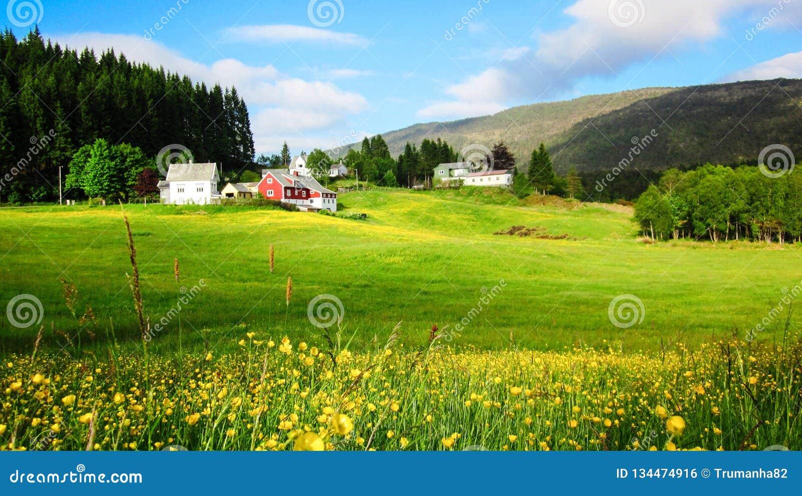 Paisaje de la primavera con un prado de las flores amarillas del ranúnculo en prado verde en la sol