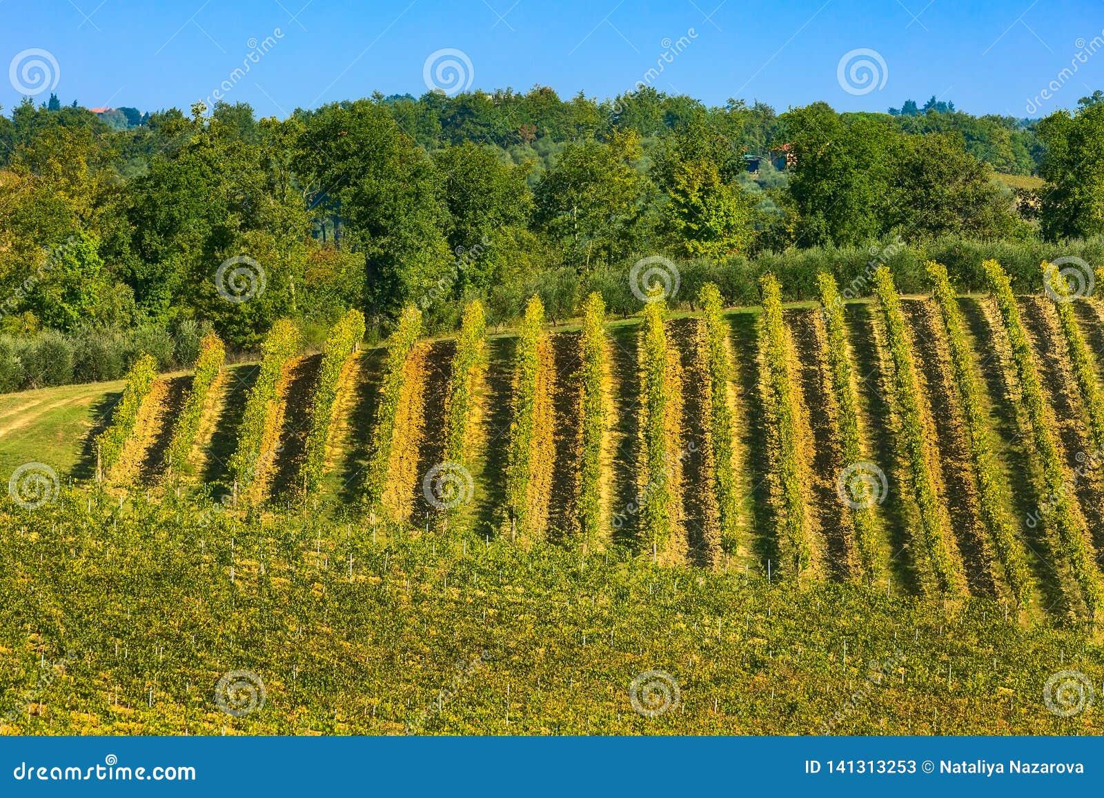 Paisaje de Toscana con filas de los viñedos
