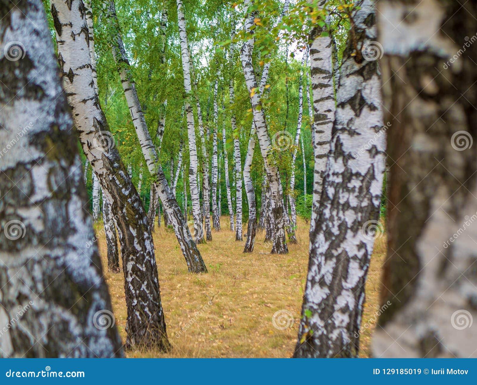 Paisaje del bosque de Autumn Birch con el desierto de la naturaleza del bosque del abedul