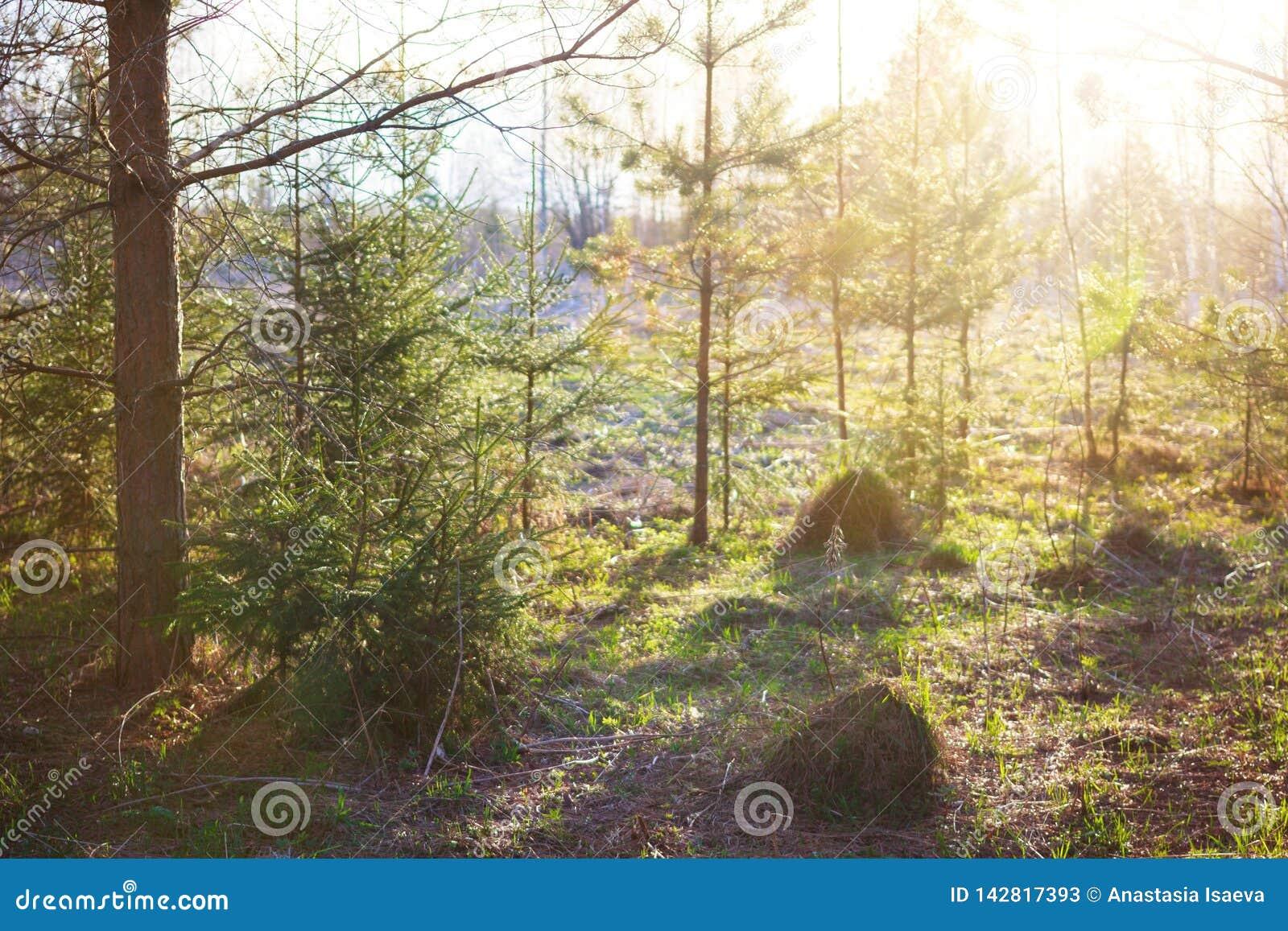 Paisaje del bosque de la primavera Rayos de Sun y piceas y pinos