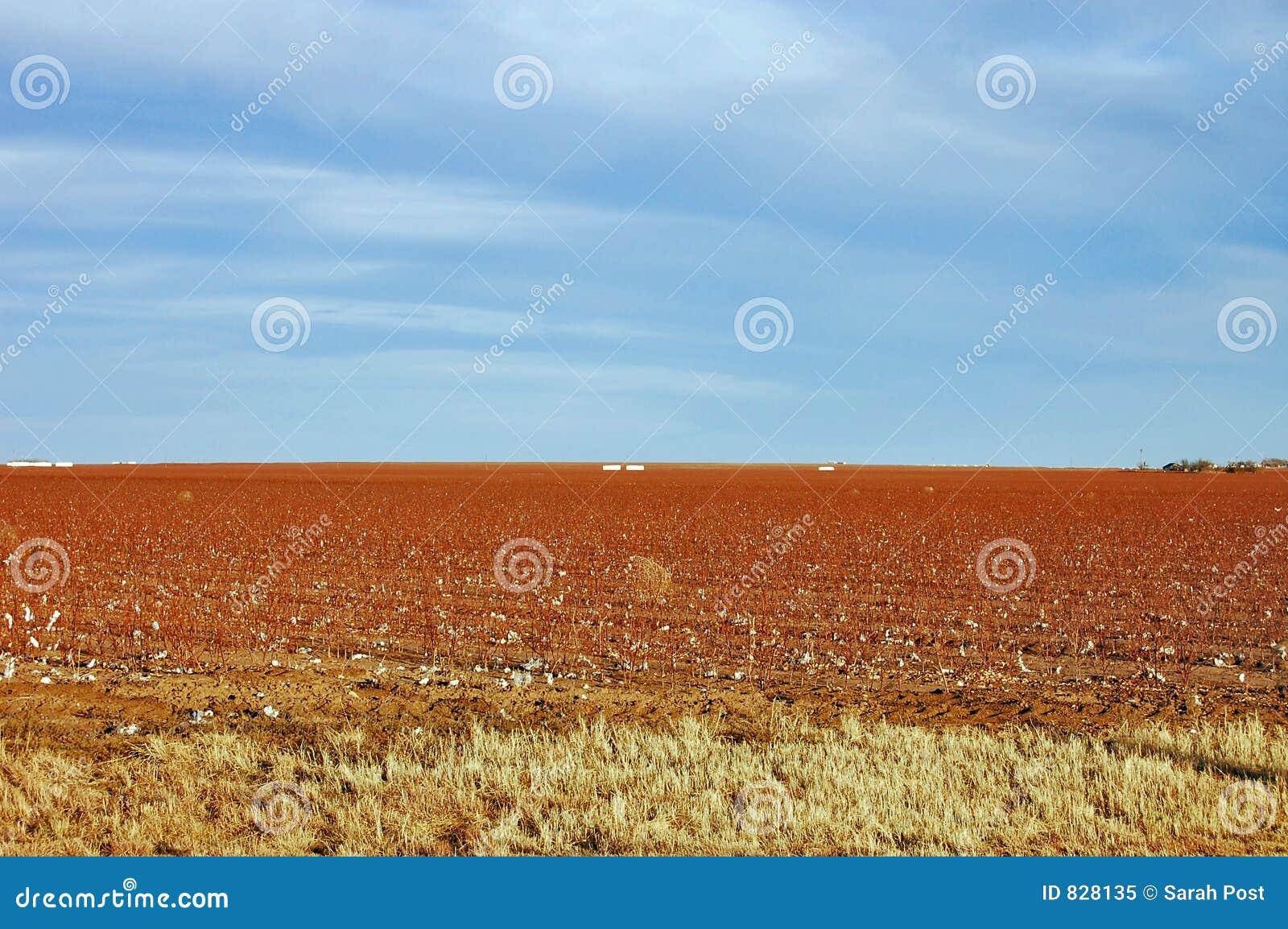 Paisaje del campo del algodón