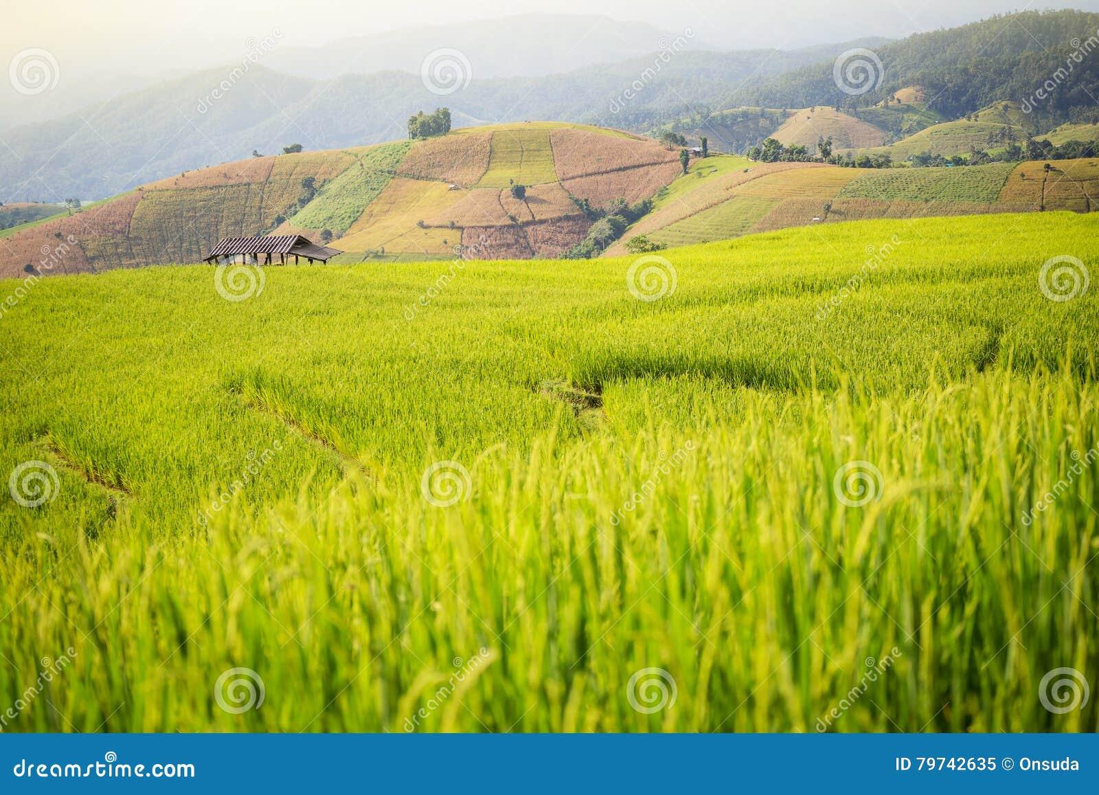 Paisaje del campo del arroz en Tailandia