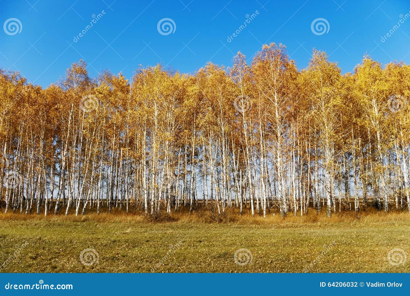 Paisaje del otoño con los abedules