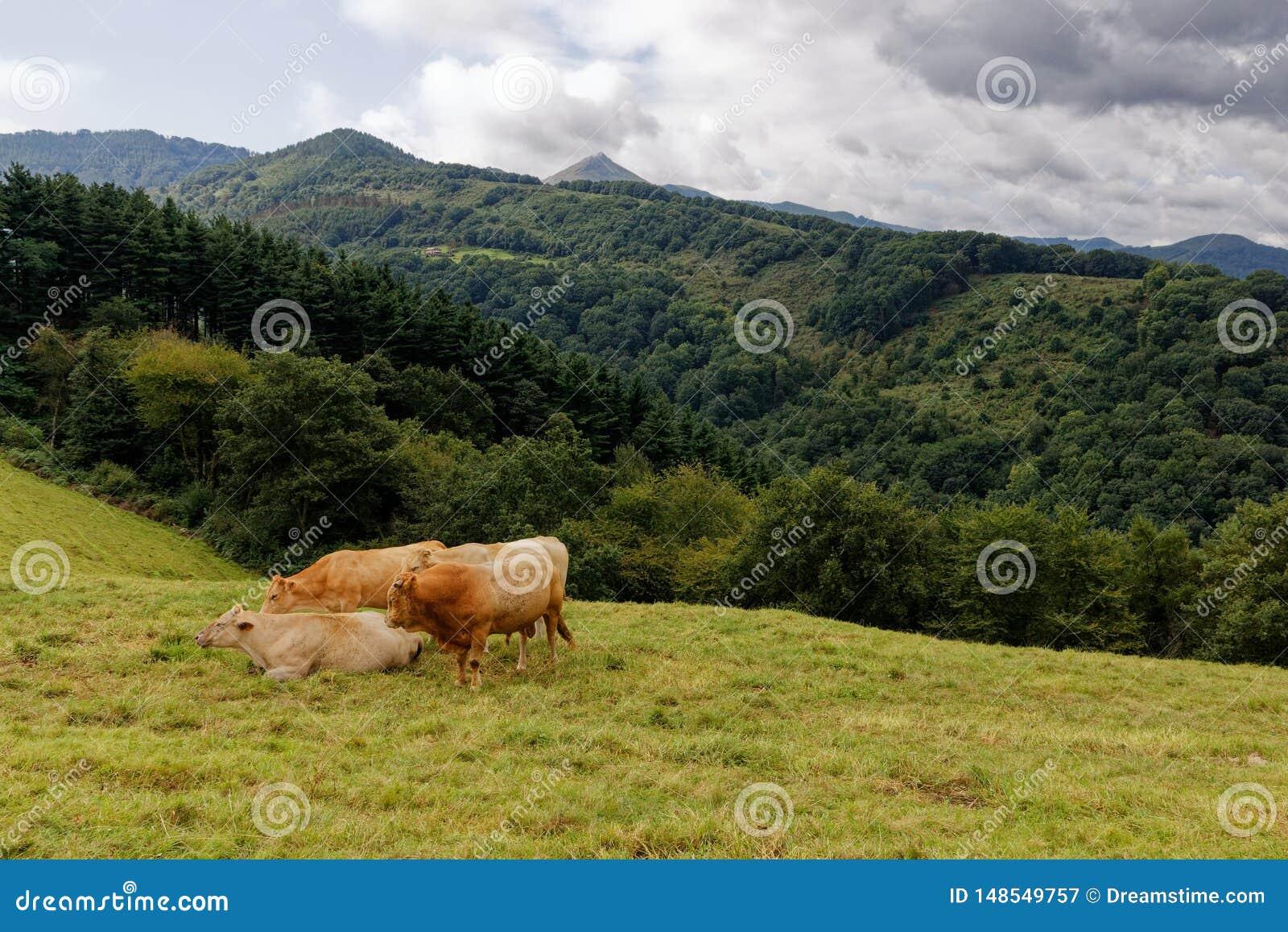 Paisaje del Pays Basque, vacas en prado