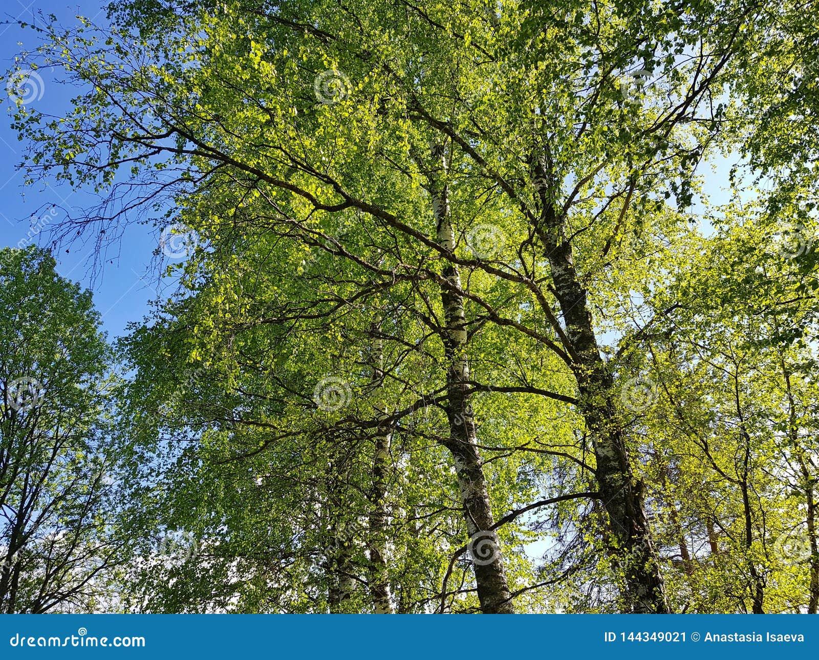 Paisaje fresco del bosque de la primavera Hojas verdes transparentes en día soleado