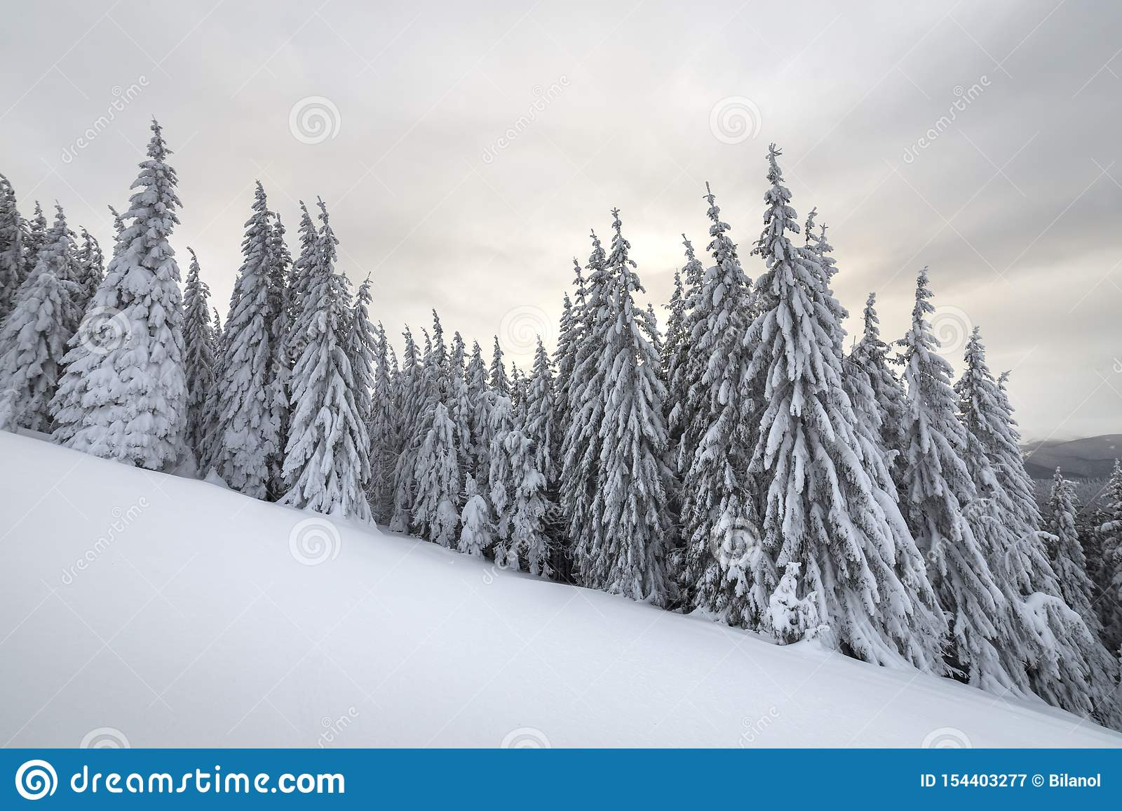 Paisaje hermoso de la monta?a del invierno Árboles altos de la picea cubiertos con nieve en bosque del invierno y fondo del cielo